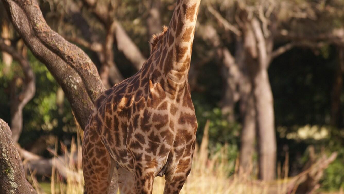 Masai giraffe on the savannah at the Kilimanjaro Safari. (Disney)