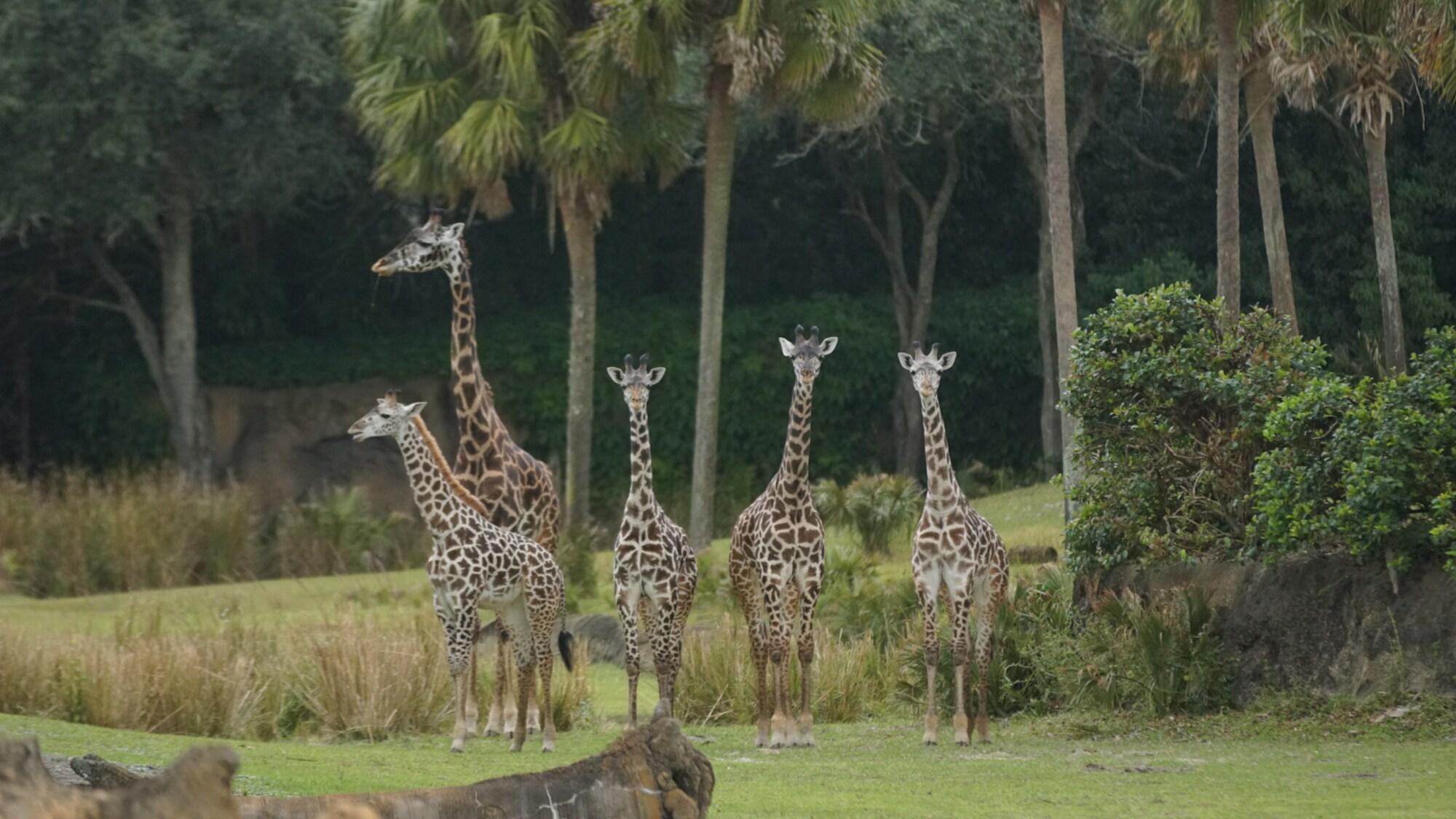 Masai giraffes on the savannah at the Kilimanjaro Safari. (Disney)