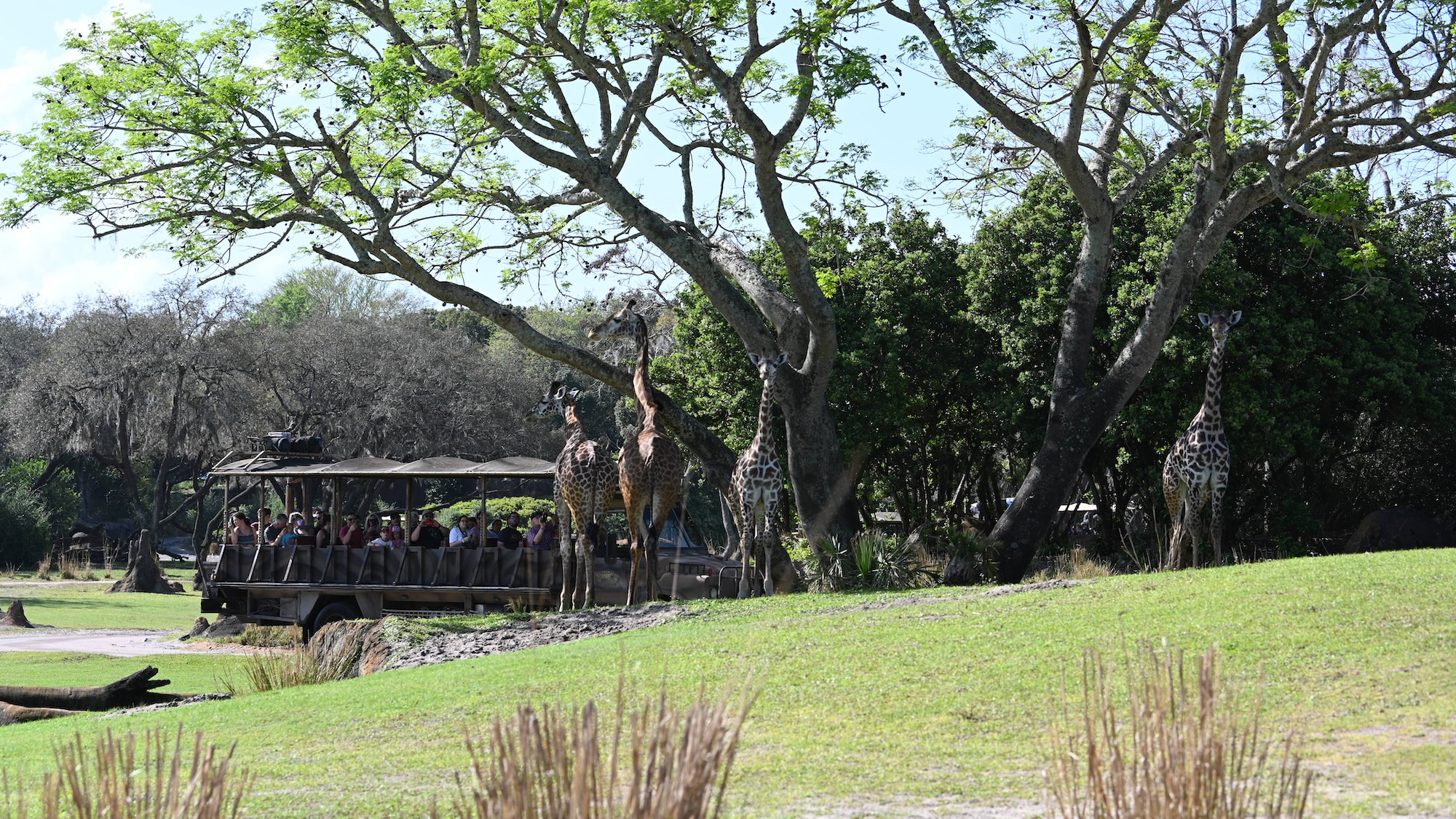 Guests observe giraffes on the savanna. (National Geographic/Gene Page)