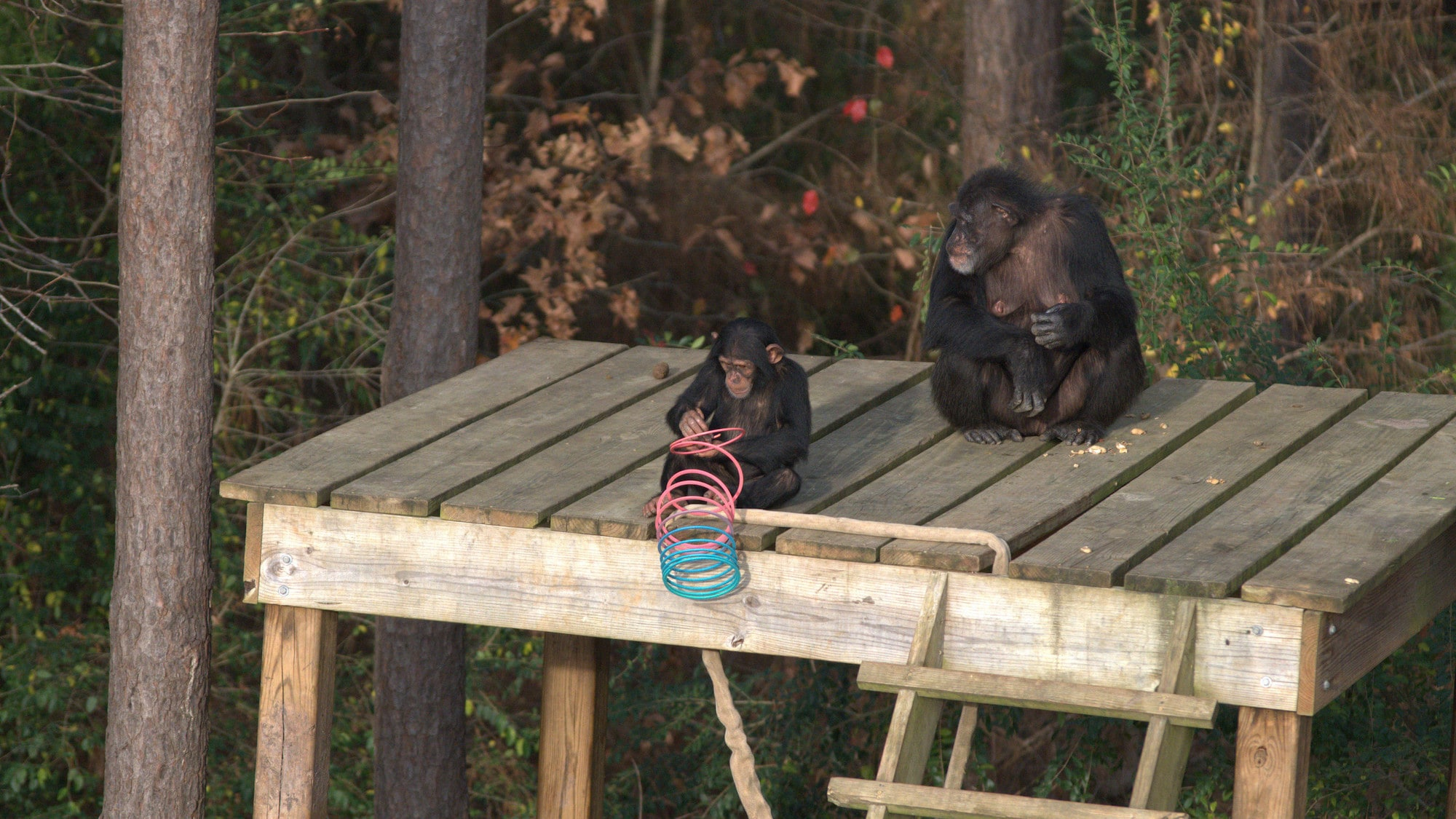 Carlee and Mum Passion on wooden platform in their forest habitat. Carlee playing with a slinky. Sara Soda's Group. (Nick Chapoy)