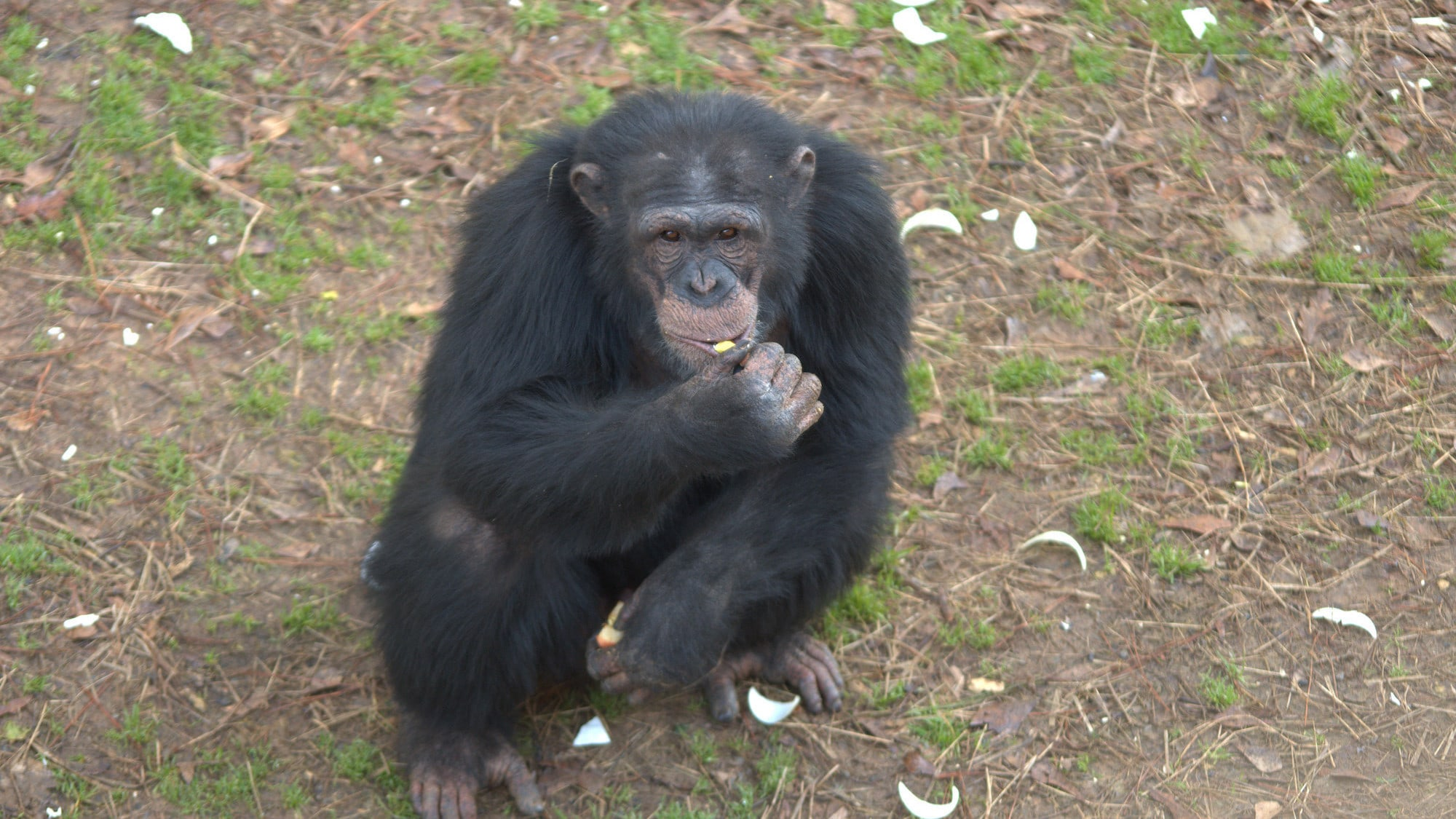 Jimmy Dean crouched in the forest habitat eating. Jimmy Dean is one of the adolescent males in Sara Soda's Group. (Nick Chapoy)