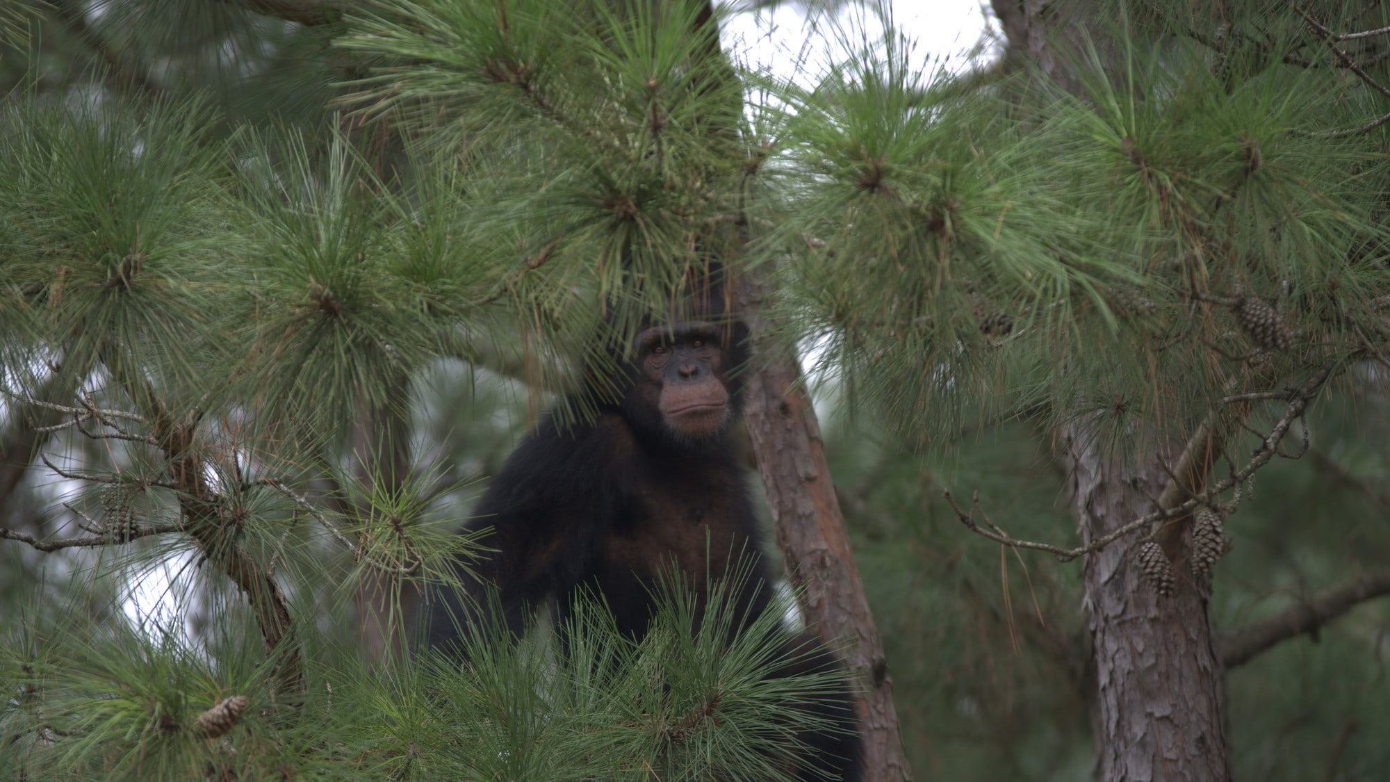 Jimmy Dean's face amongst the pine trees. Jimmy Dean is one of the adolescent males in Sara Soda's Group. (Nick Chapoy)