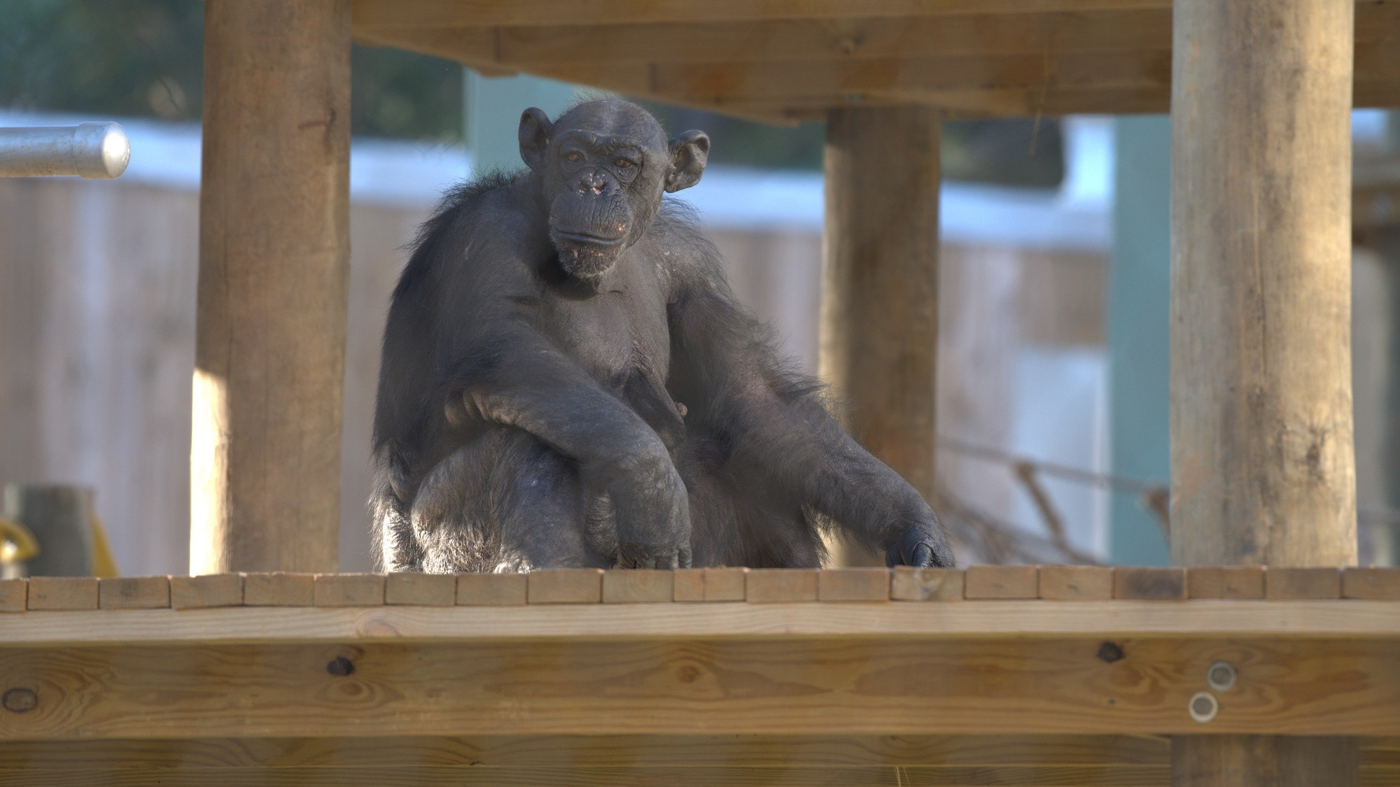 Angela sitting on a platform looking in to the distance, Slim's group. (Chimp Haven/Karalee Scouten)