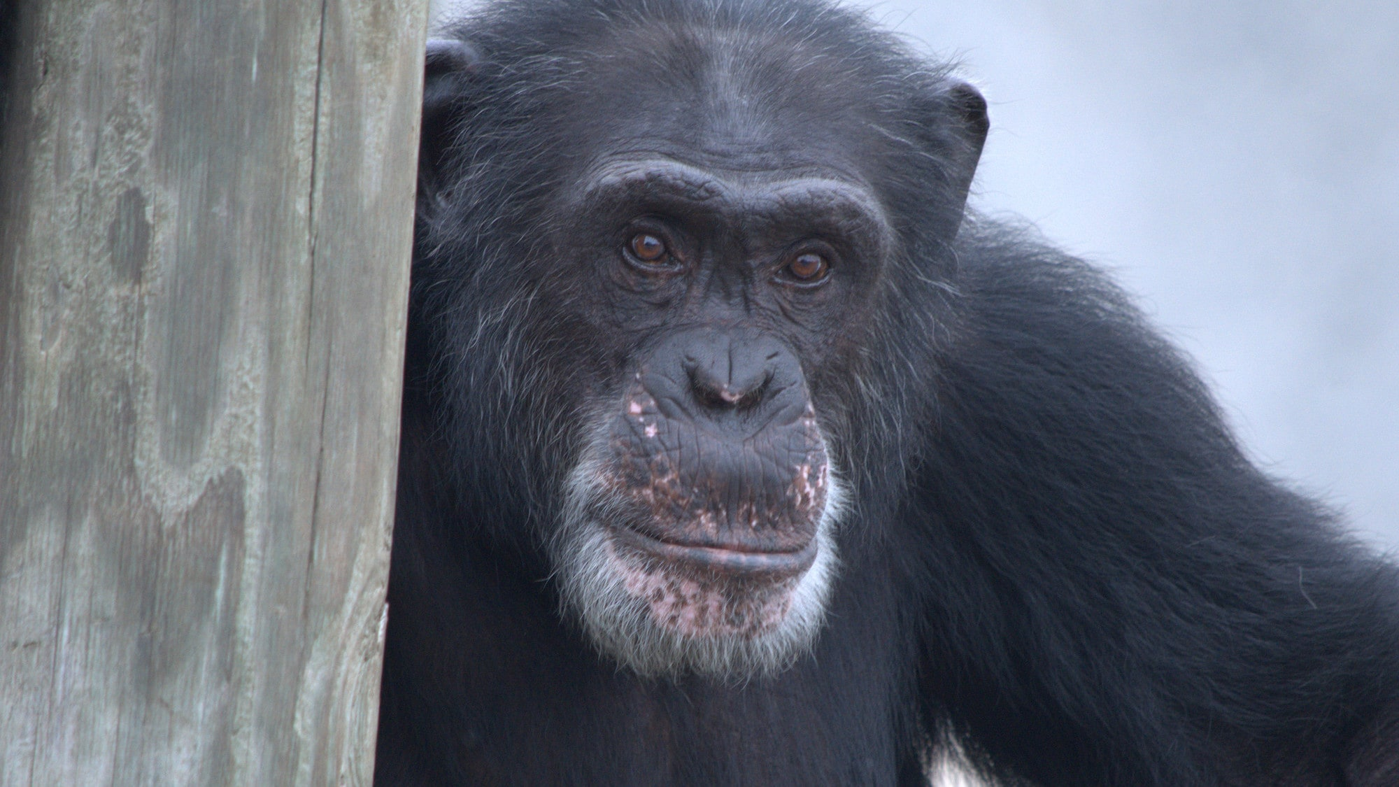 Henry, Donovan's Group. (Chimp Haven/Karalee Scouten)