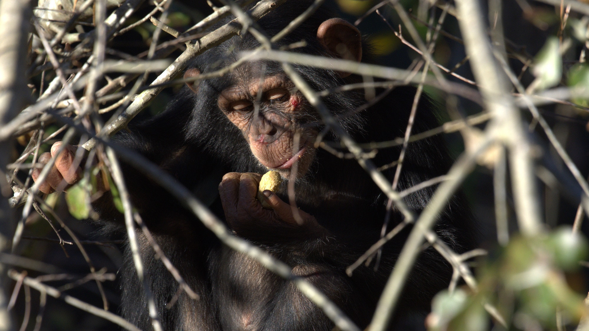 Carlee in a tree looking at Chow in hand. Chow is a nutritious food for chimpanzees. Sara Soda's group. (National Geographic/Virginia Quinn)
