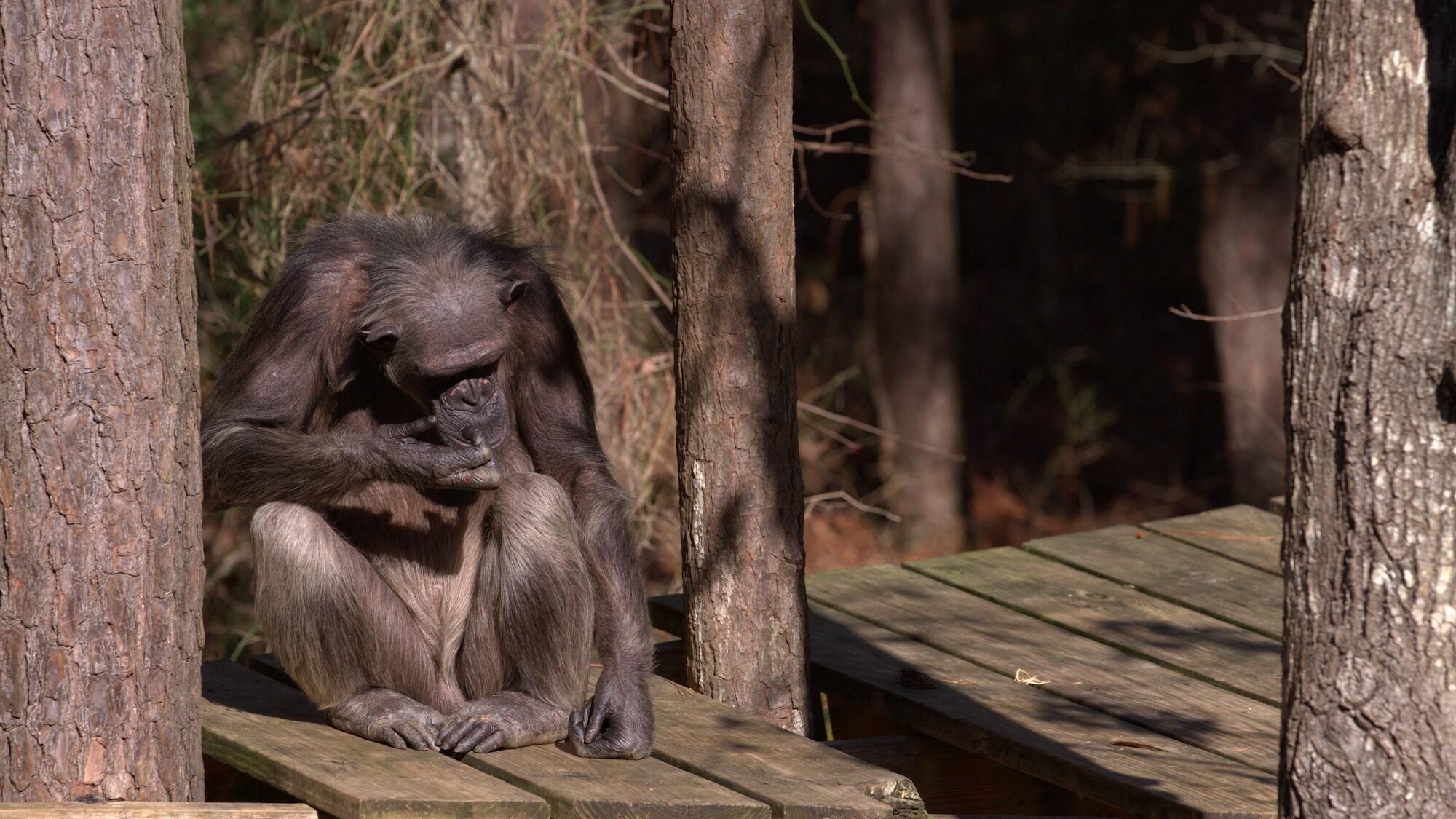 Flora sits on platform self-grooming. Sara Soda's group. (National Geographic/Jack Chapman)