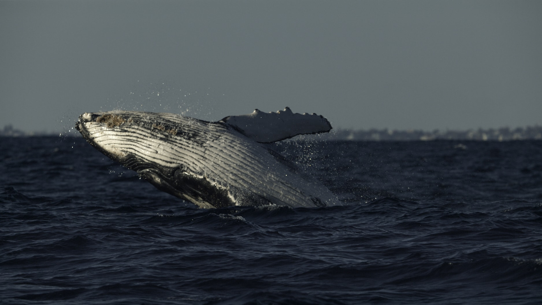 Scientists believe humpbacks breach to communicate to other whales - although it also looks like fun. (National Geographic for Disney+/Hayes Baxley)
