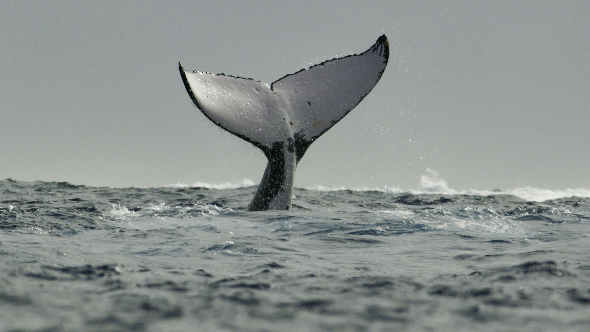 The humpback's tail - called a fluke - has patterns as unique as a human fingerprint. Scientists use them to identify individuals year after year. (National Geographic for Disney+/Hayes Baxley)