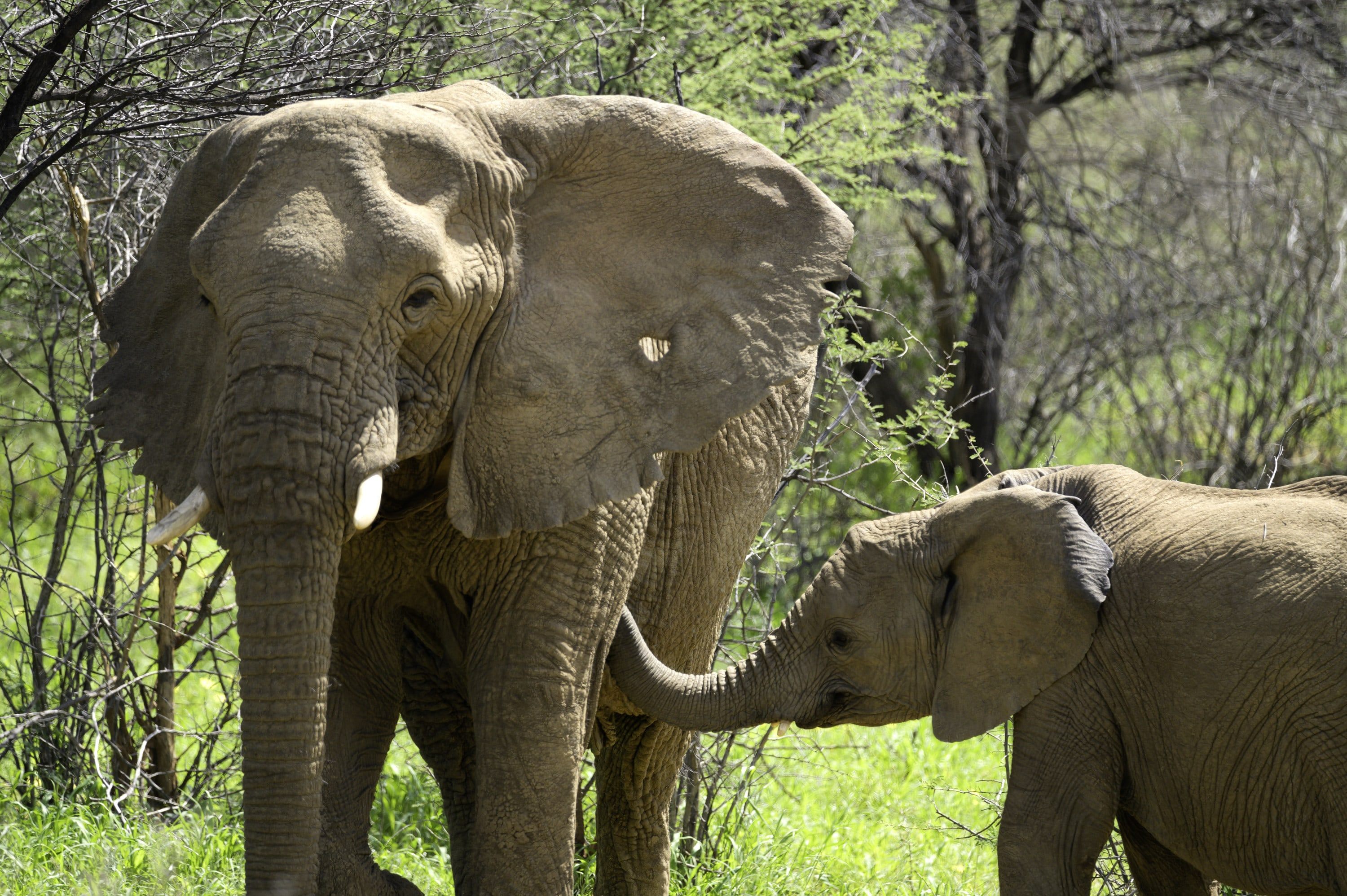 Max looping his trunk towards the Matriarch, Khanyisa. (National Geographic for Disney+/Melanie Gerry)