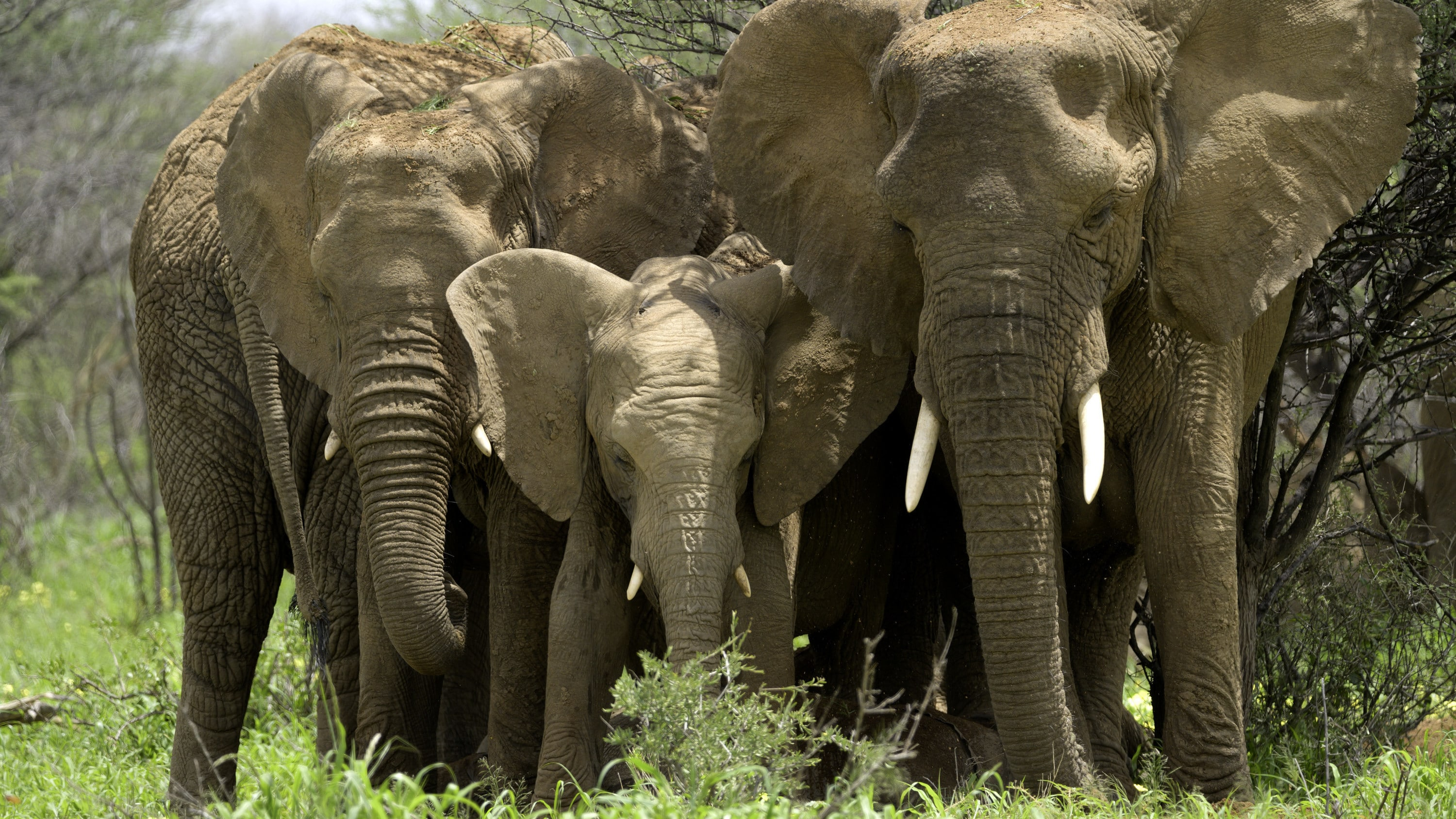 The elephant herd rests in the trees. (National Geographic for Disney+/Melanie Gerry)