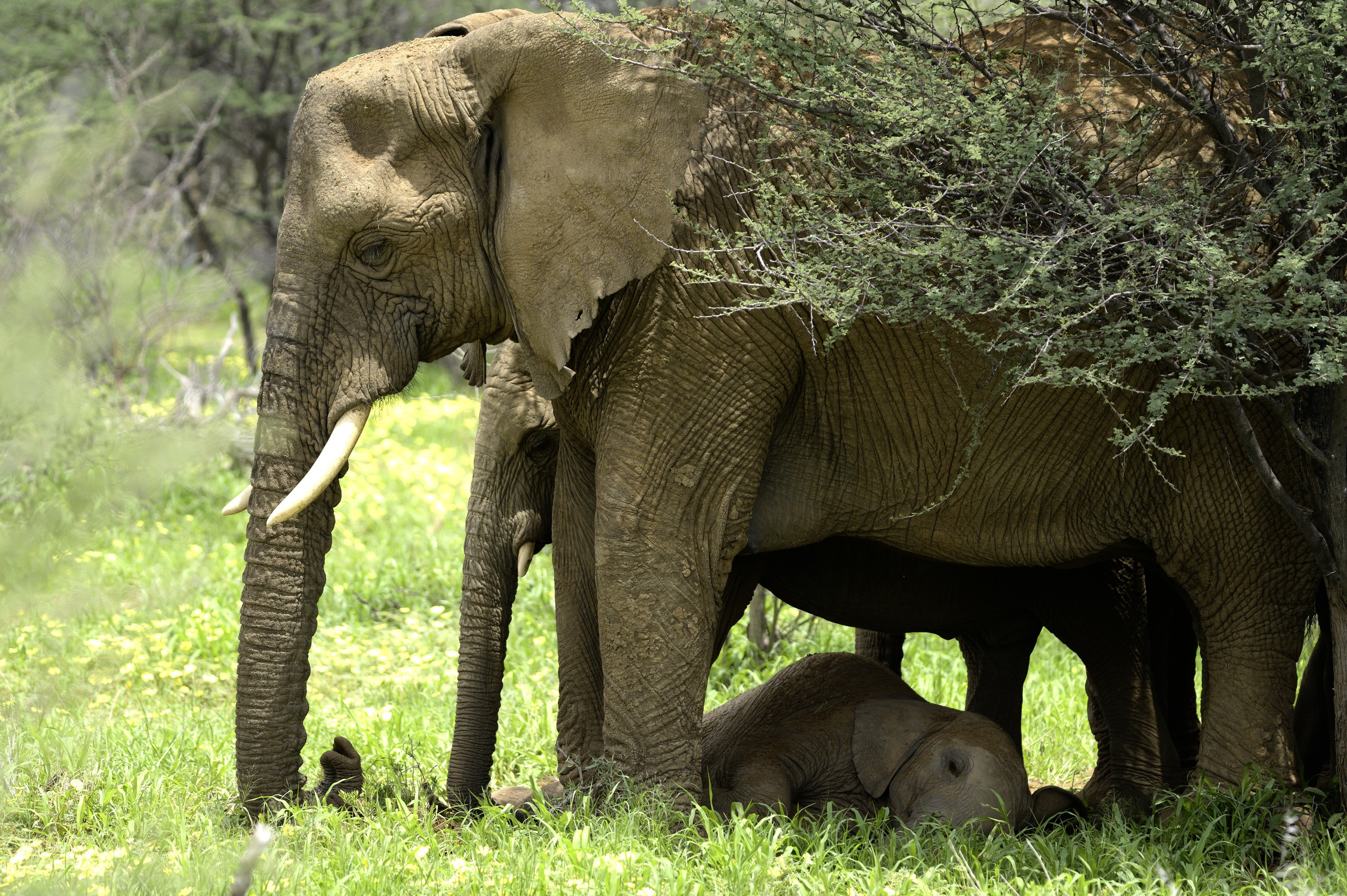 Max lying down underneath the adults.  Thandi stands in green grass with her trunk curled and pressed to the ground. (National Geographic for Disney+/Melanie Gerry)