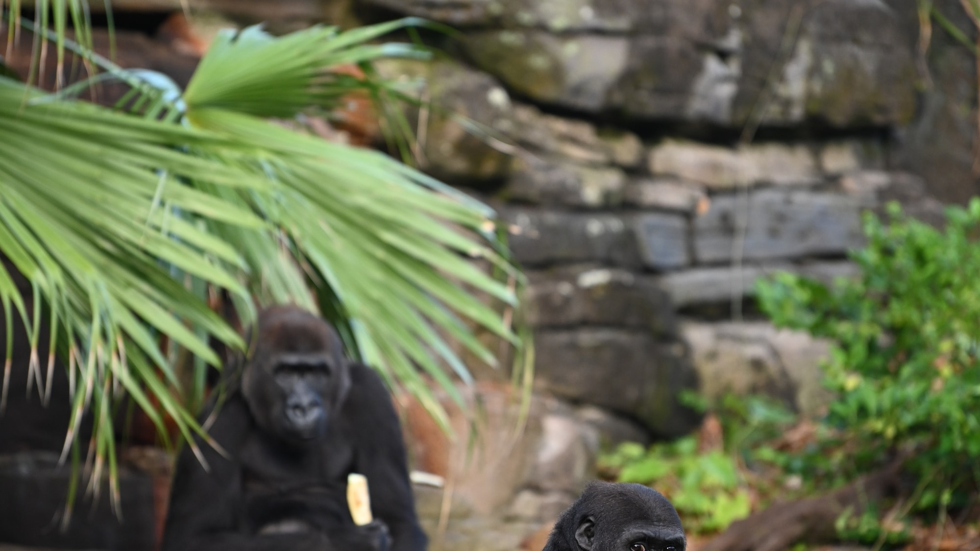 Lilly and Cory the Gorillas eating. (National Geographic/Gene Page)