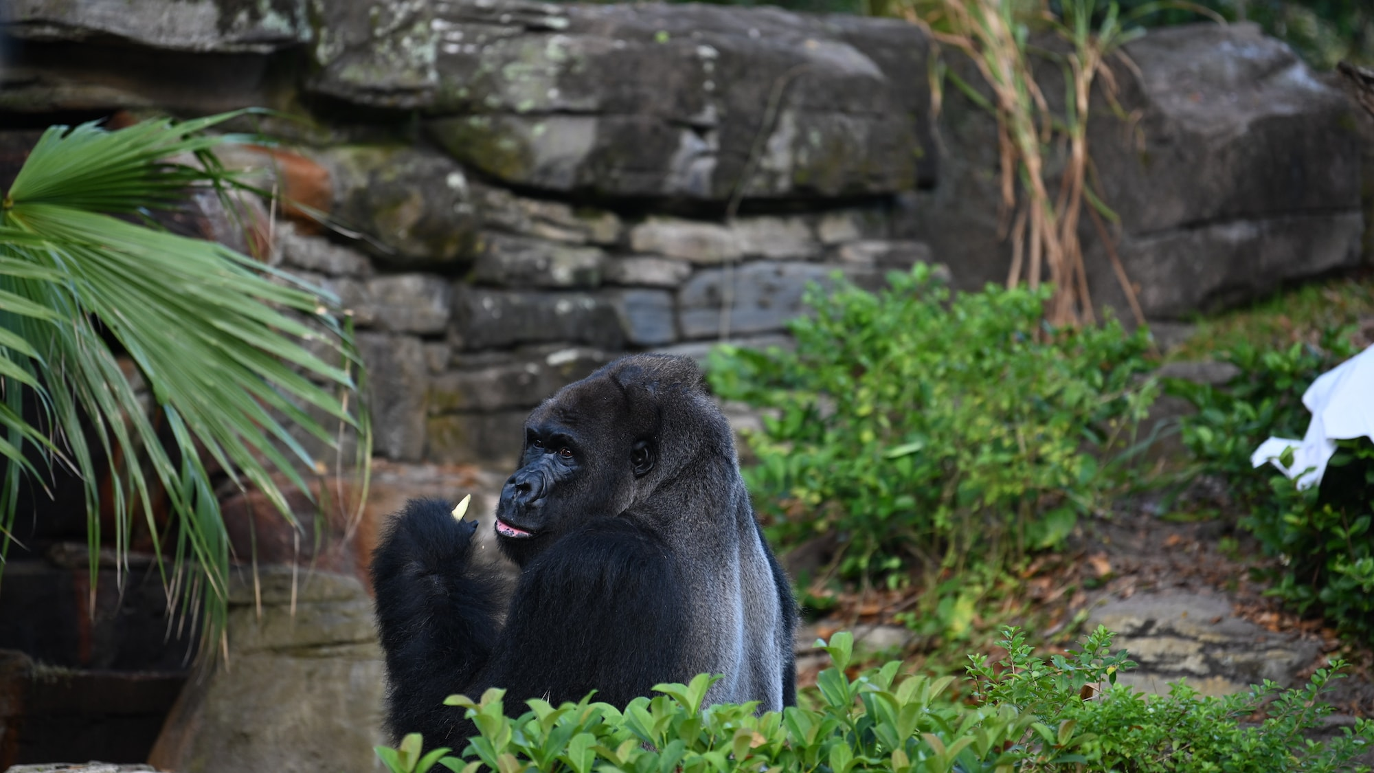 Gino the Gorilla eating. (National Geographic/Gene Page)