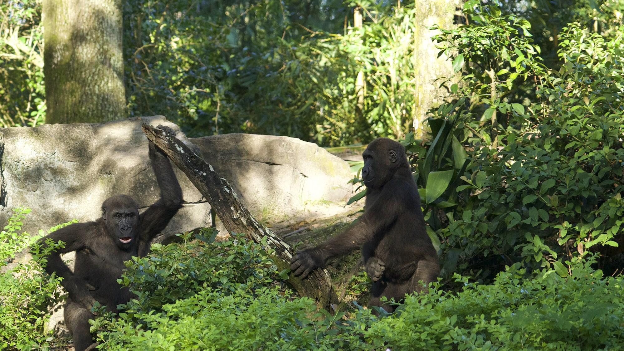 Cory and Flint, Western Lowland Gorillas. (Disney)