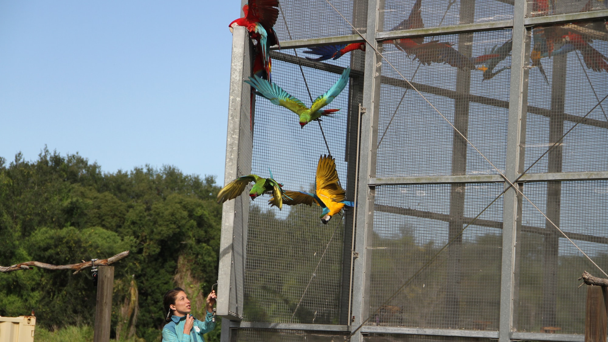 Keeper releases Macaws for training. (Disney)