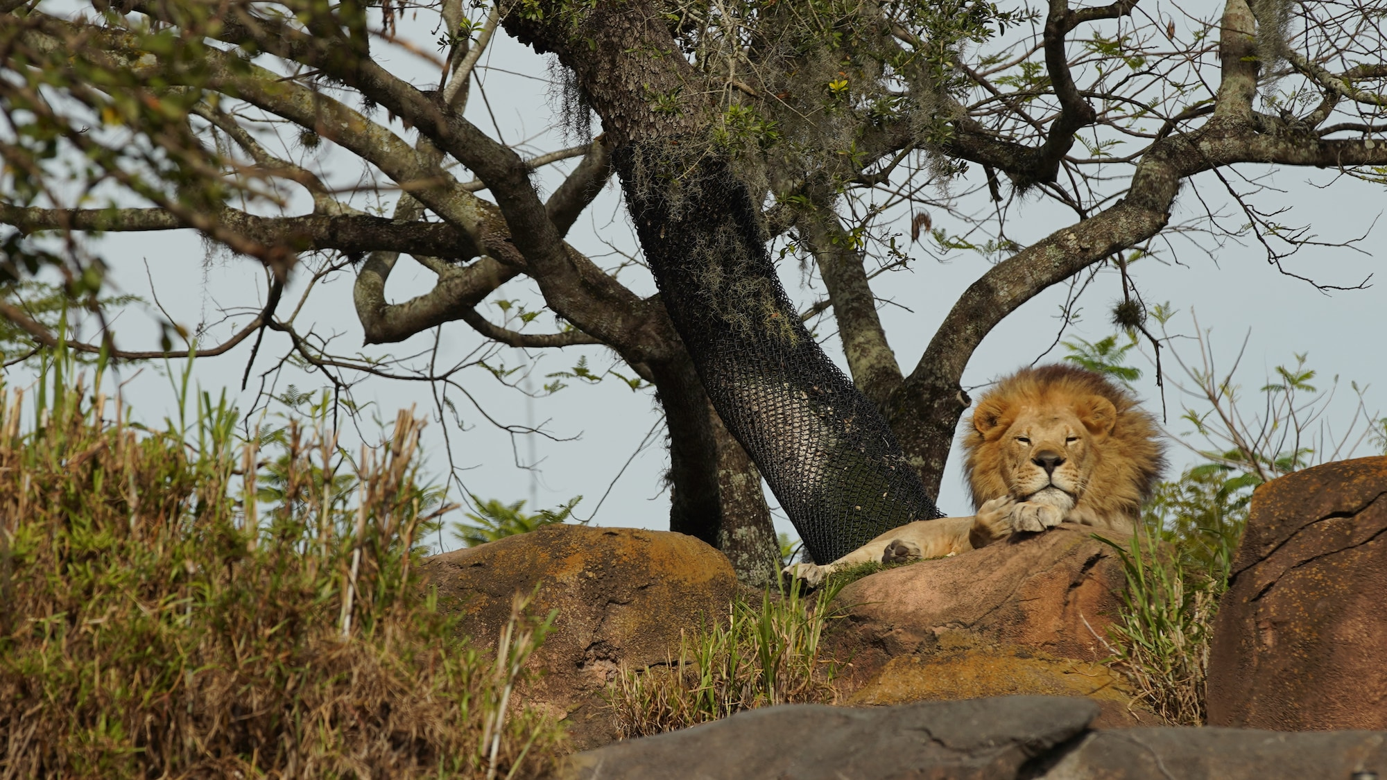 Dakari the male lion rests on the savannah at the Harambe Wildlife Reserve. (Disney)