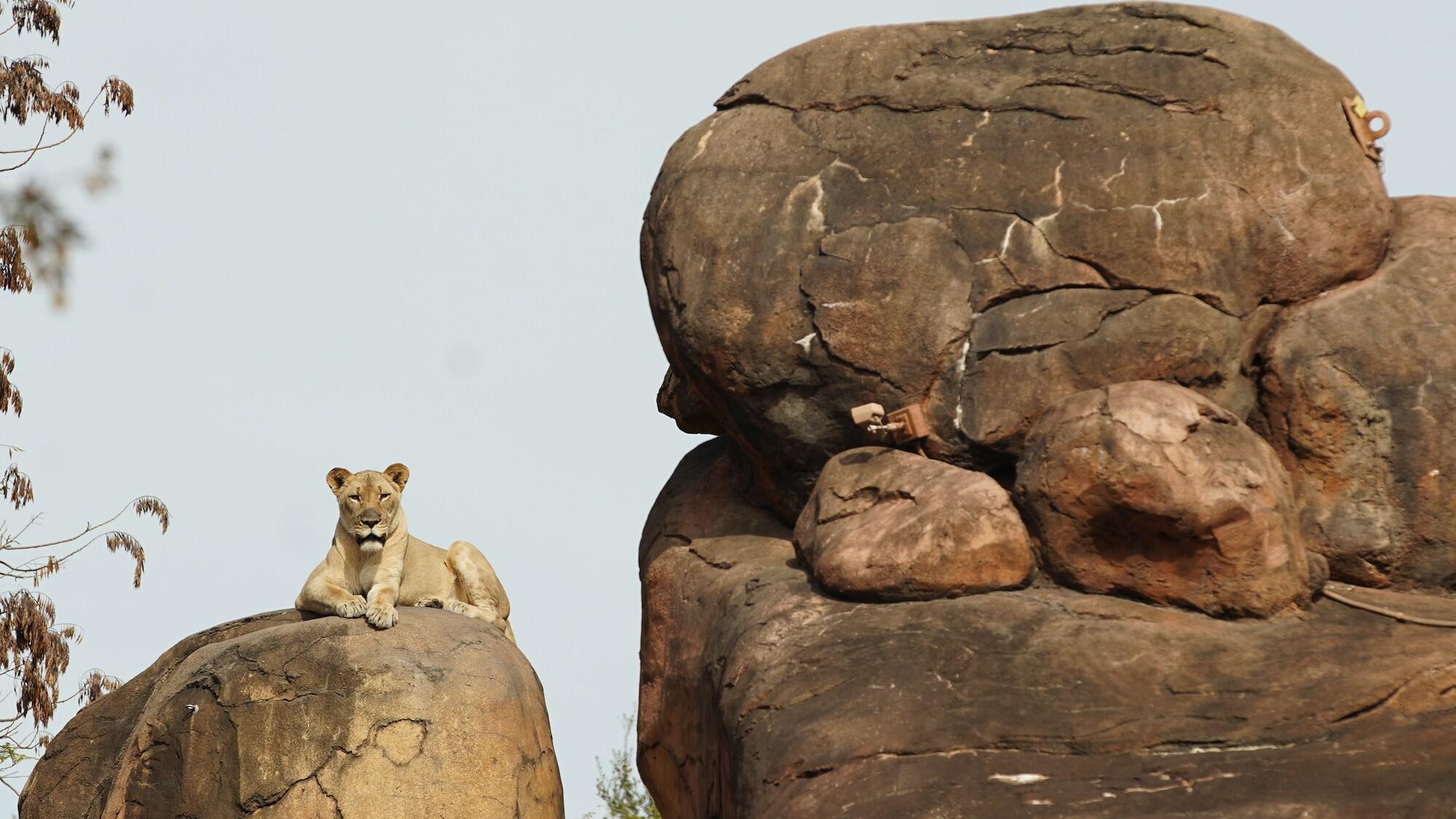 Kamari the lioness rests on the savannah at the Harambe Wildlife Reserve. (Disney)