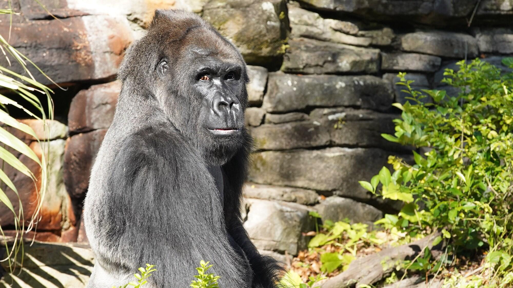 Gino the Western Lowland Gorilla. (Disney)