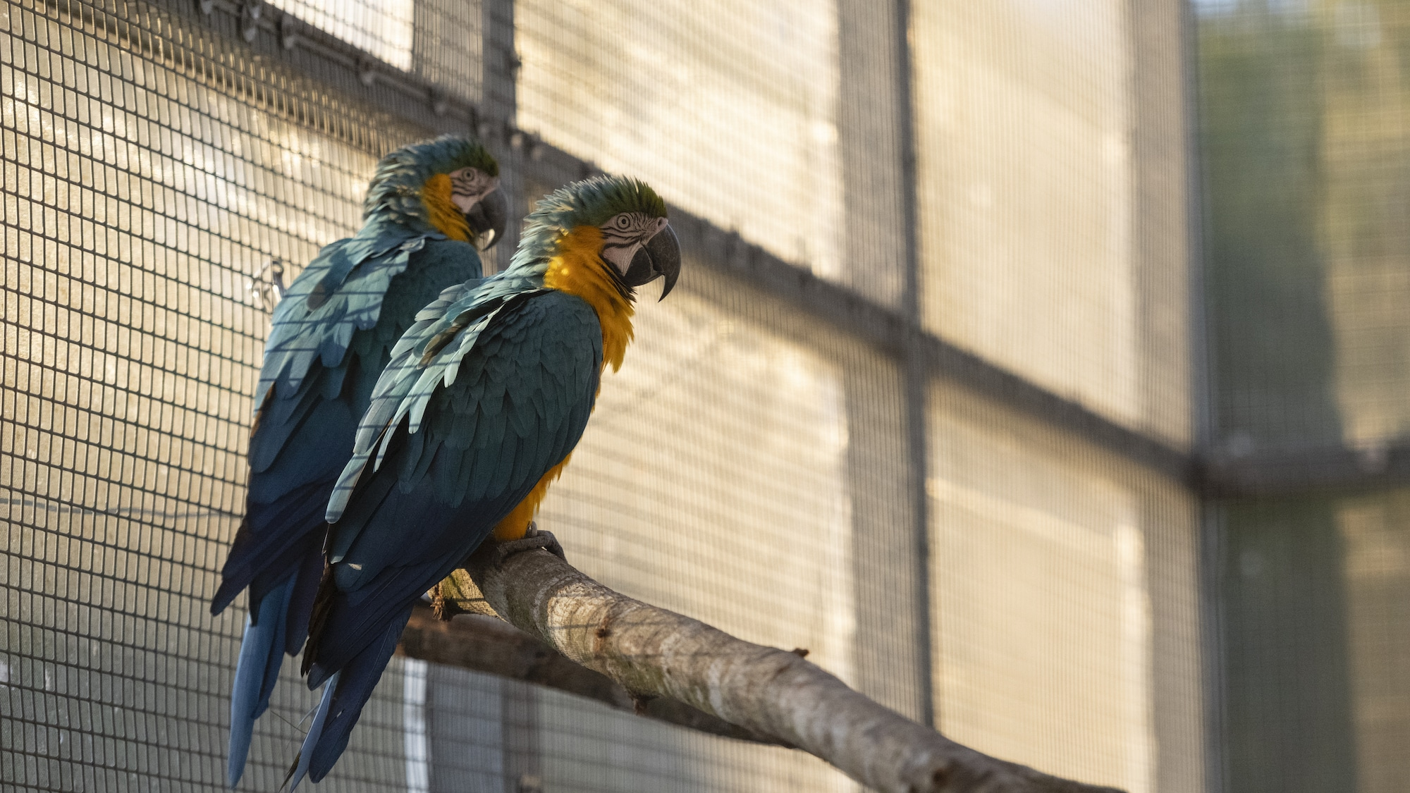 Baracus and Money Blue and Gold Macaws sitting on a branch. (Charlene Guilliams/Disney)