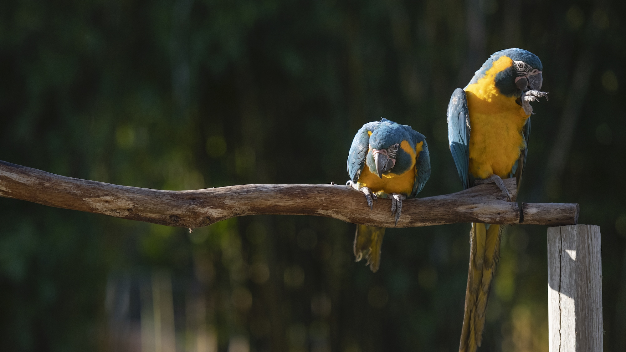 Mia and Primrose Blue Throated Macaws sitting on a branch. (Charlene Guilliams/Disney)