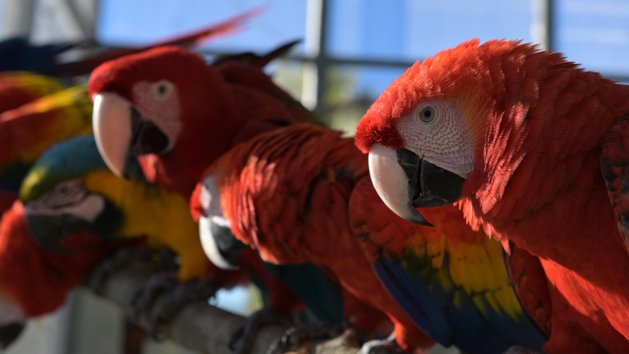 Jayne Scarlet Macaws and other Macaws sitting on branch. (Charlene Guilliams/Disney)