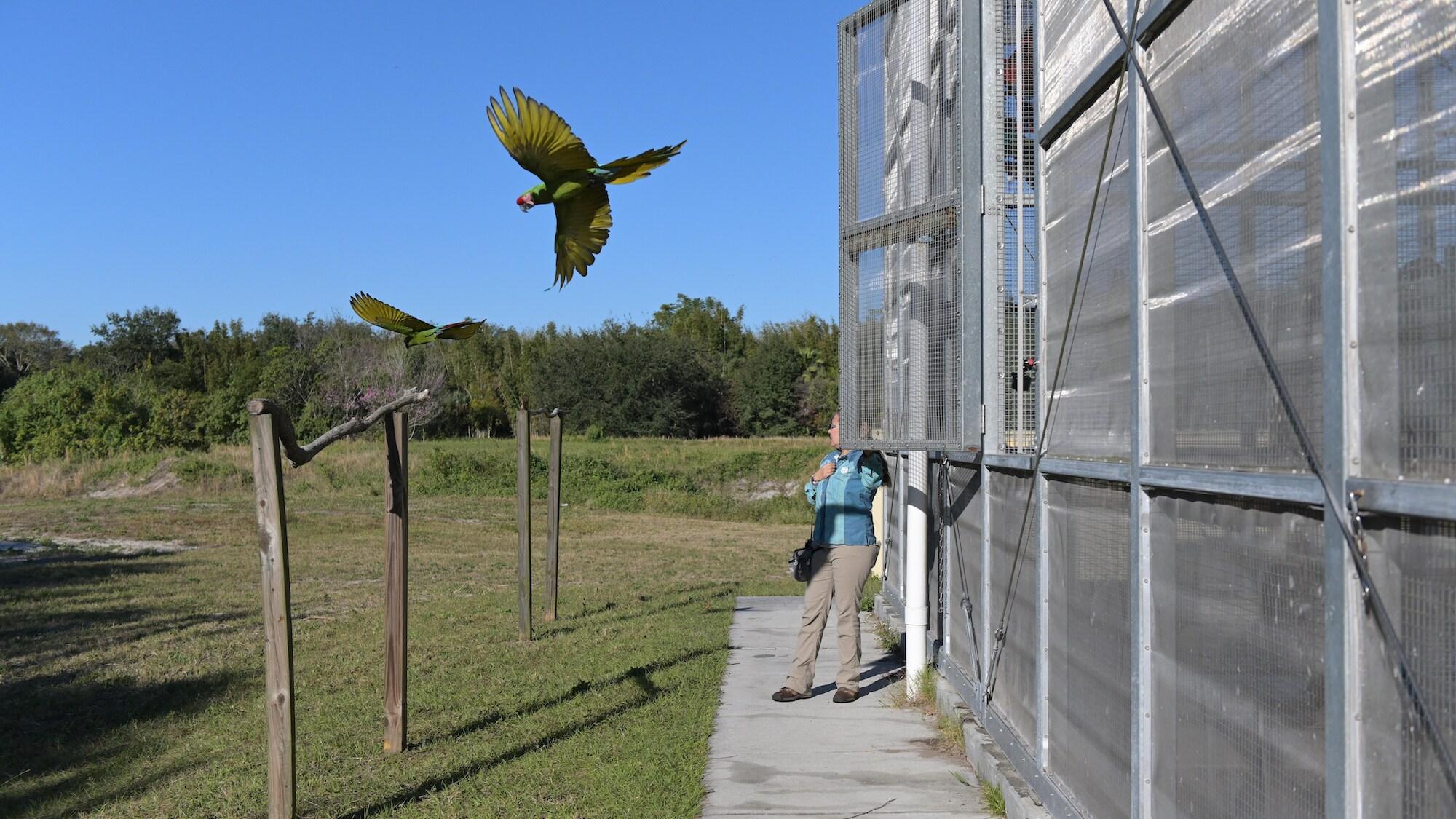 Arbor Military Macaw flies into the sky. (Charlene Guilliams/Disney)