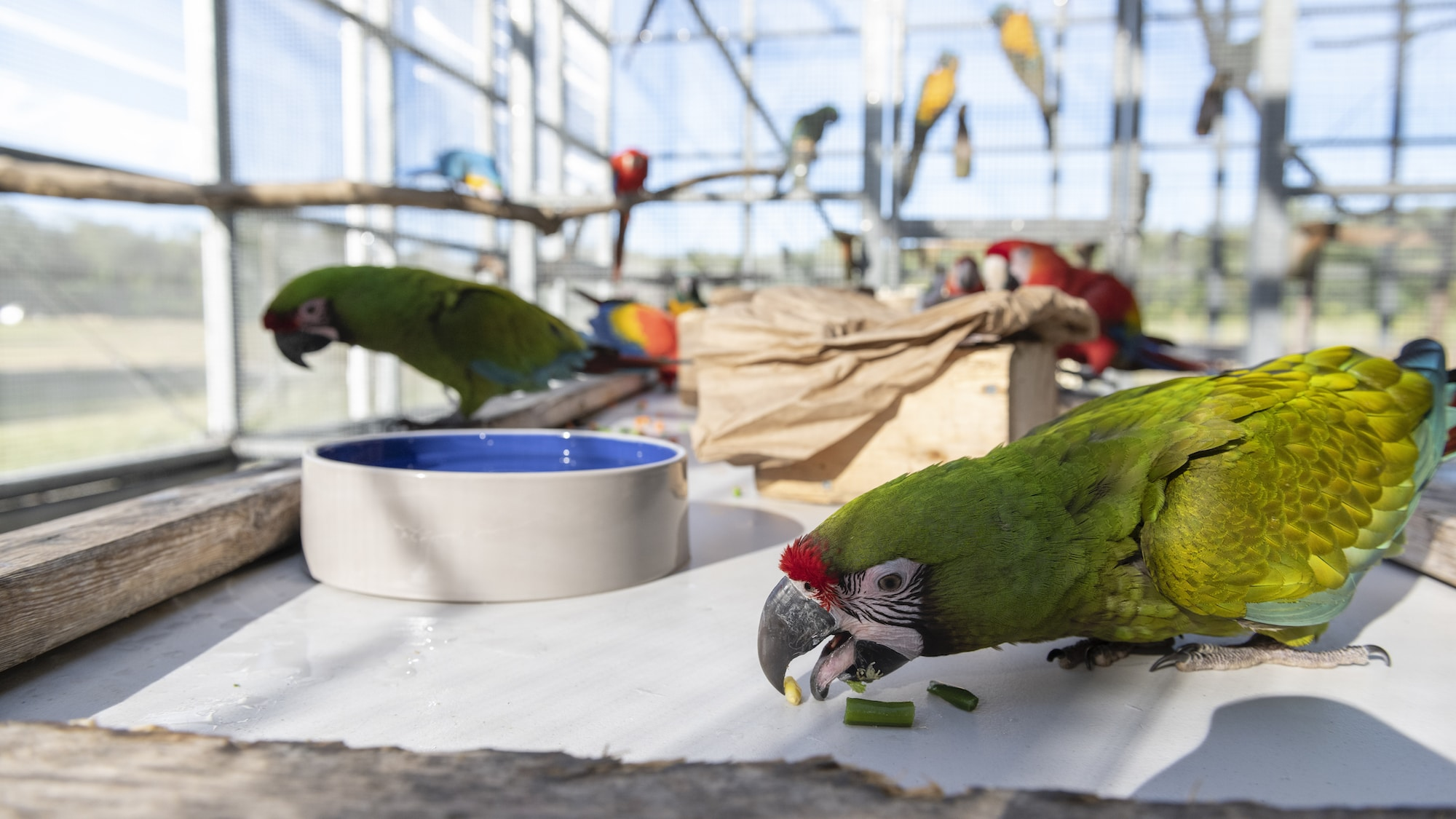 Willow a Military Macaw eating with unknown Macaws in background. (Charlene Guilliams/Disney)