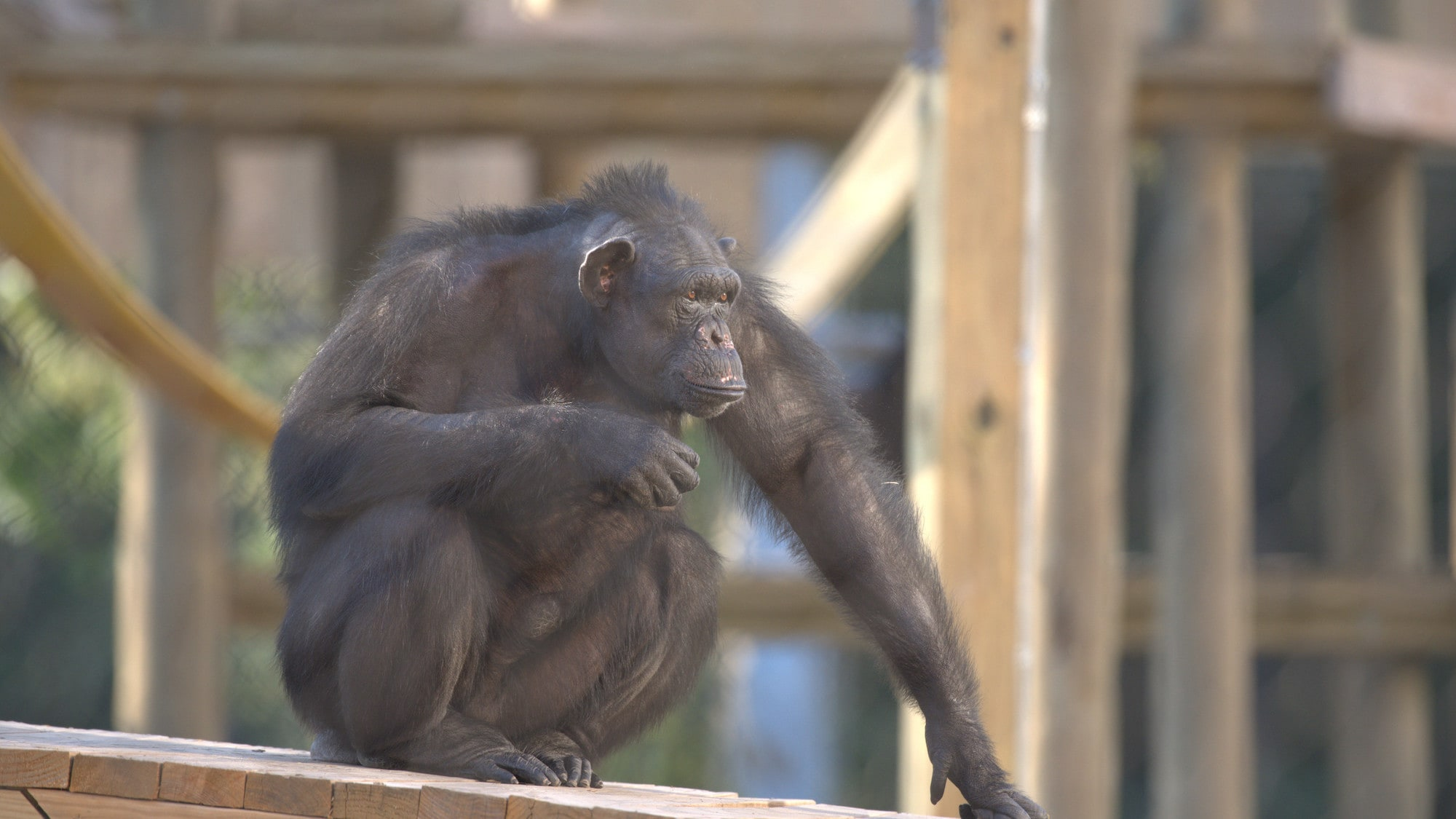 Nina, high-ranking female in Slim's group sat on wooden platform. (Chimp Haven)