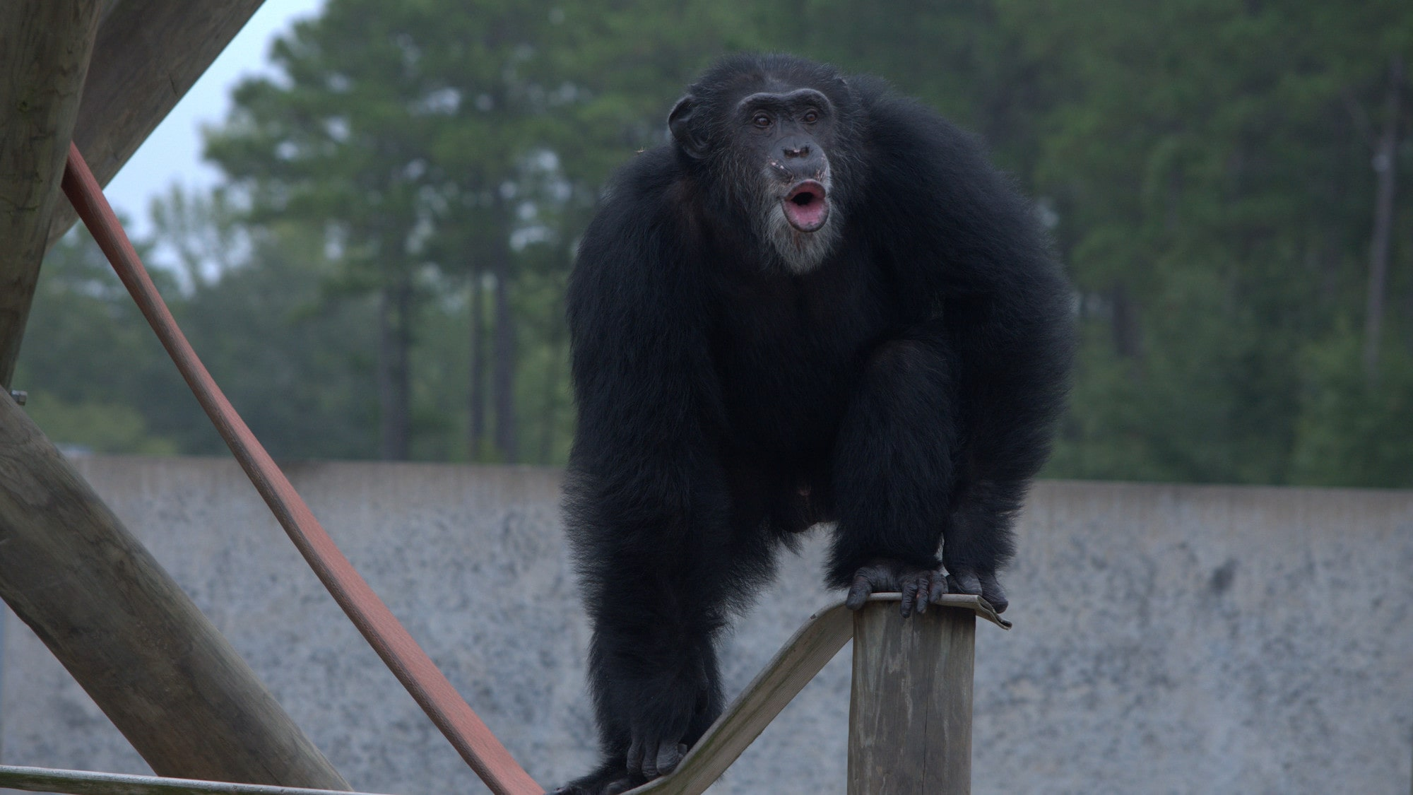 Henry stands on a wooden post, calling to the other chimps. Donovan's group. (Karalee Scouten/Chimp Haven)
