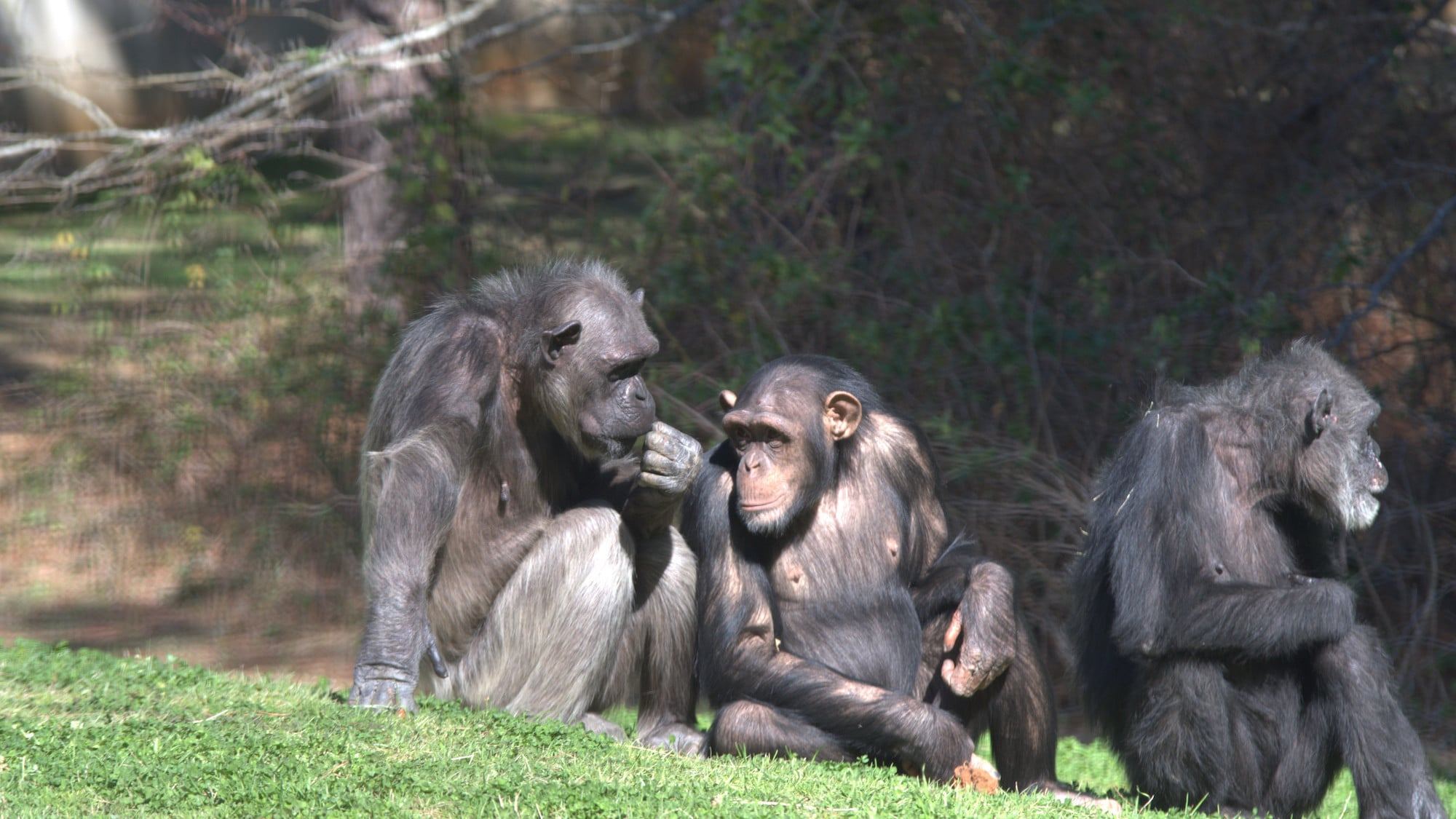Flora sat with two other chimps. Sara Soda's group. (Nicholas Chapoy)