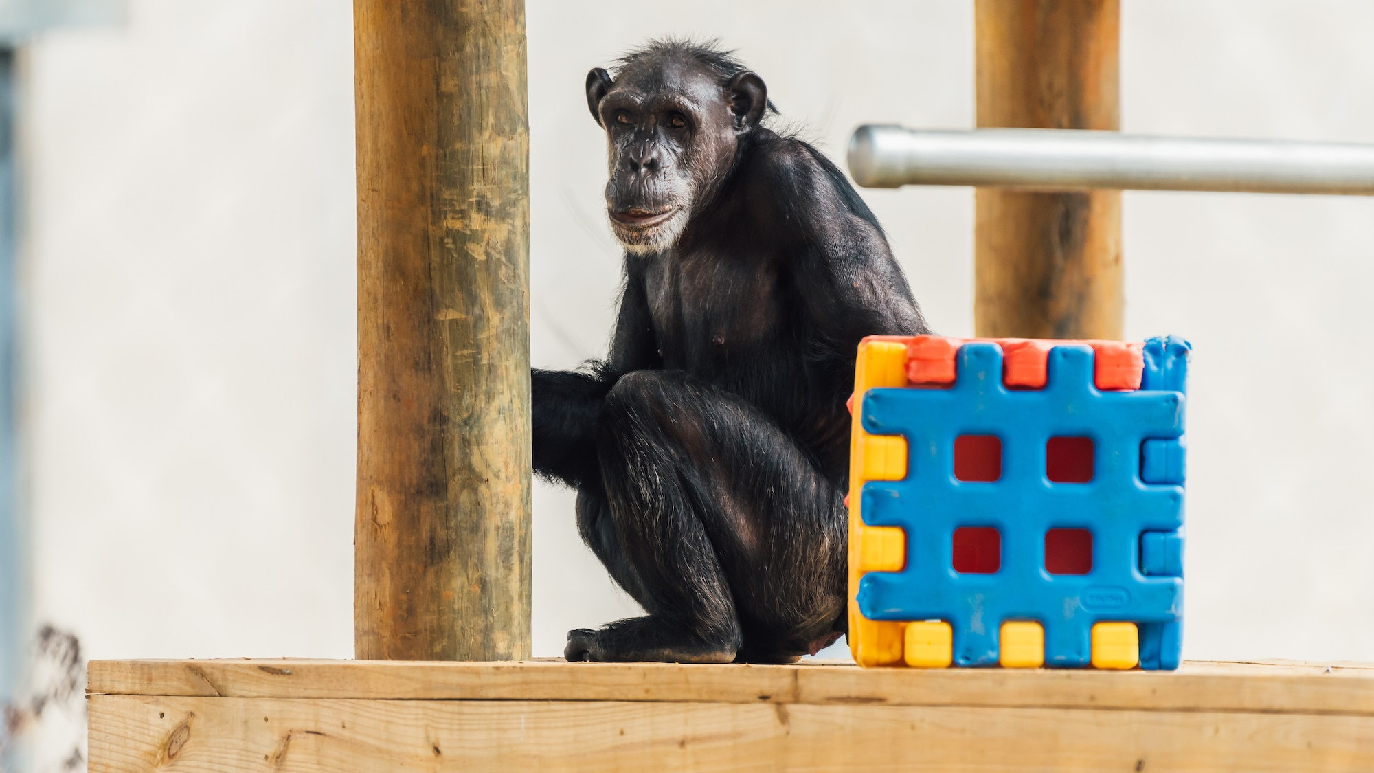 India sits on a wooden platform, holding onto the post. Sparky's group. (Karalee Scouten/Chimp Haven)