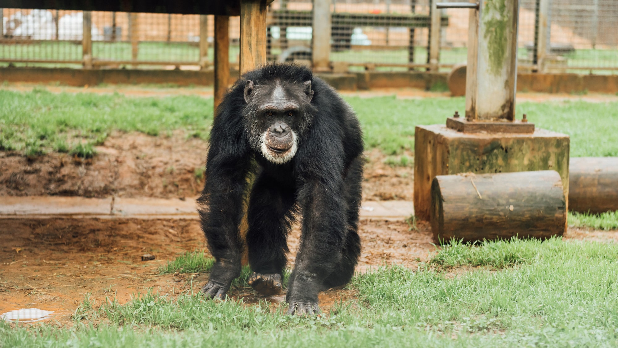 Sparky walking on all fours towards the camera. (Chimp Haven/KARALEE SCOUTEN)