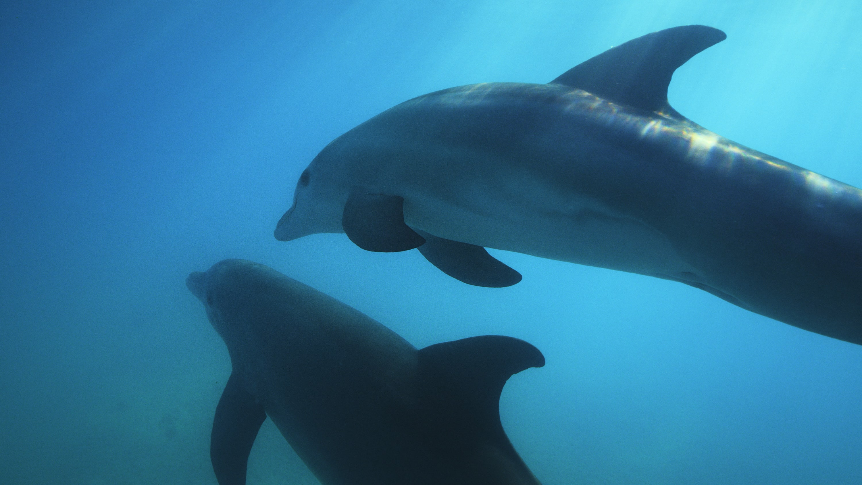 Bottlenose dolphins swim in the water surrounding Turks and Caicos. (National Geographic for Disney+)