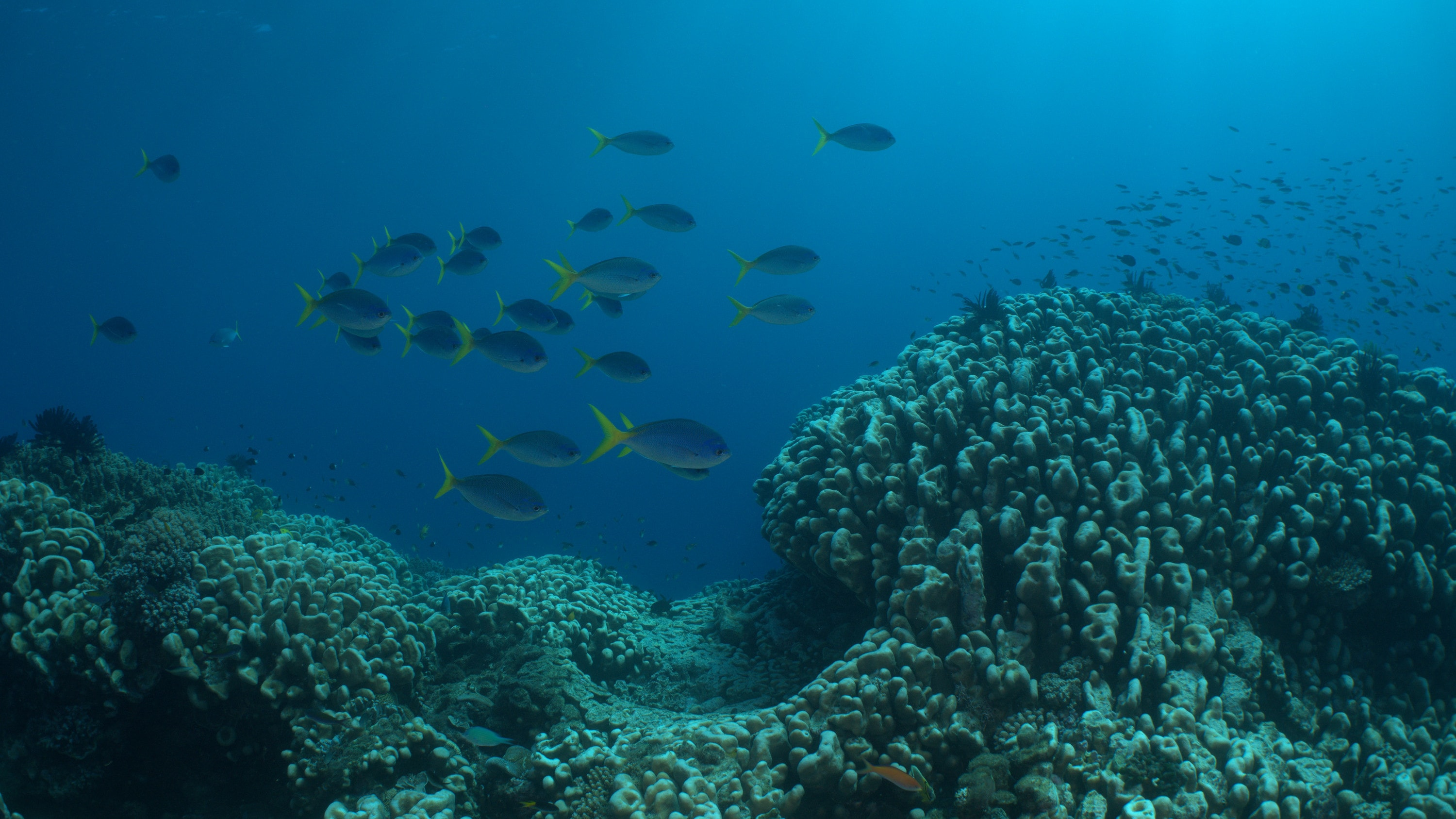 School of Yellowtail Fusilier. (National Geographic for Disney+)