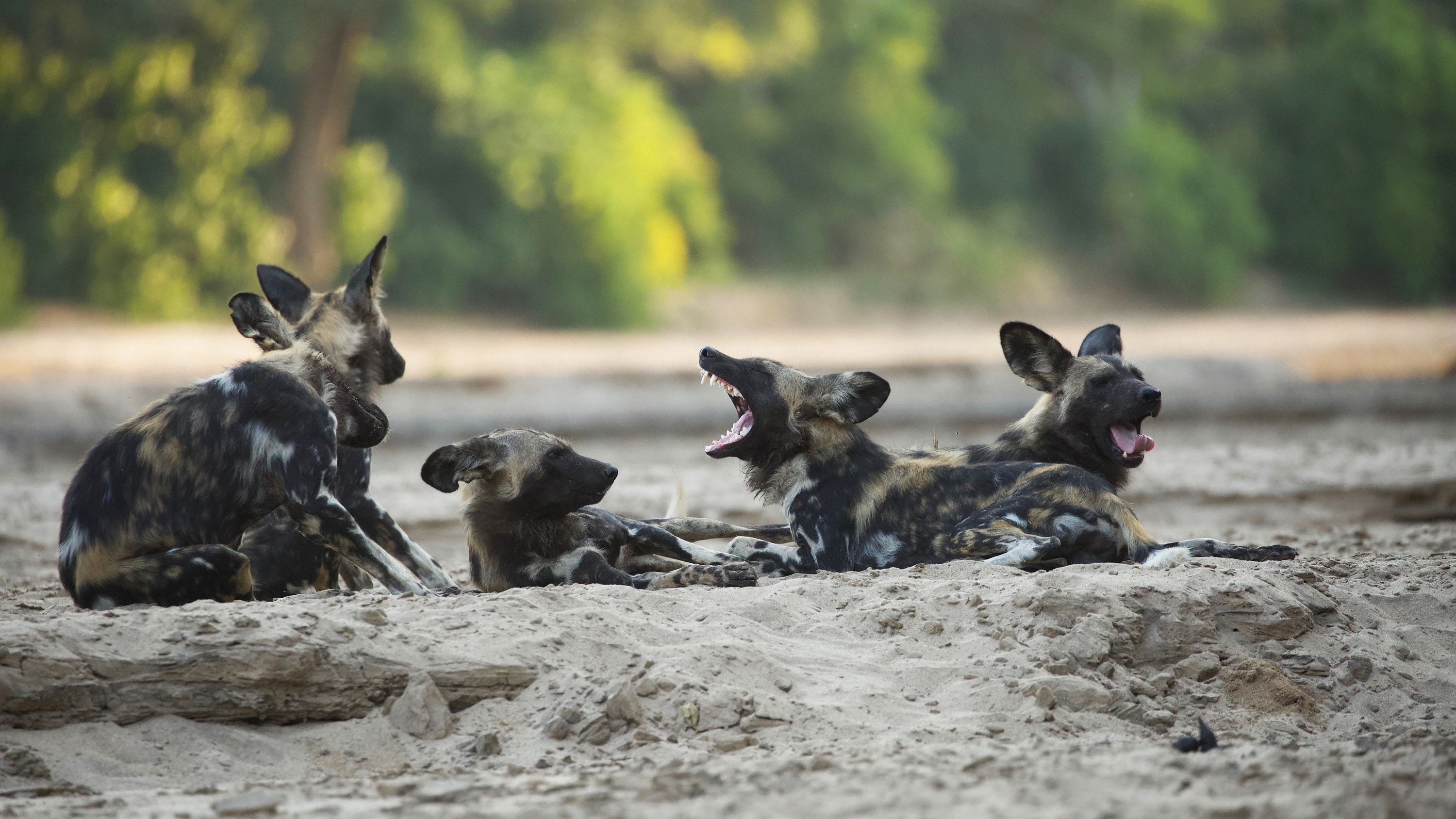 Members of the pack lie down together. (National Geographic for Disney+/Neil Fairlie)