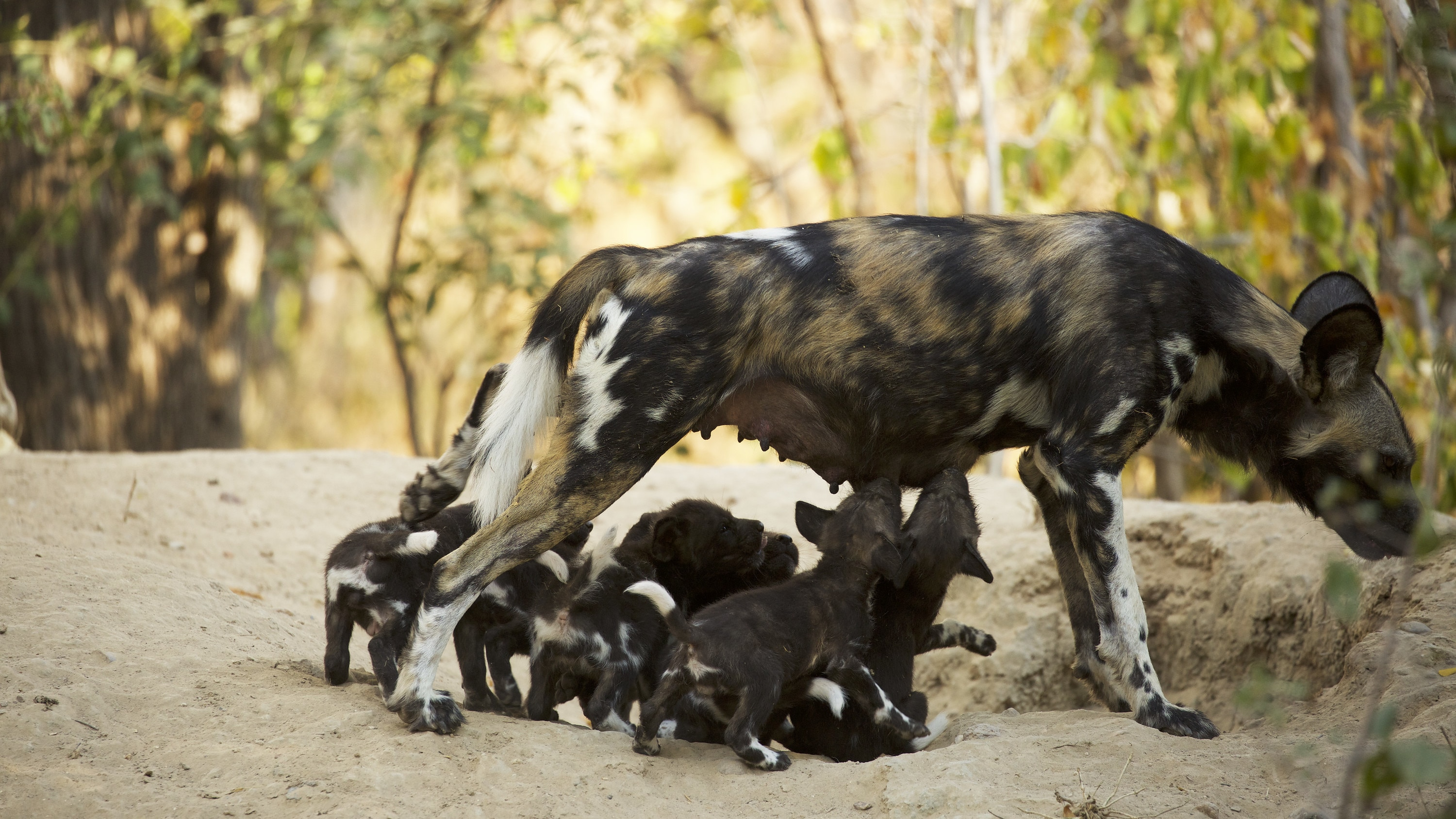 Coco stands with puppies reaching to feed. (National Geographic for Disney+/Kim Wolhuter)