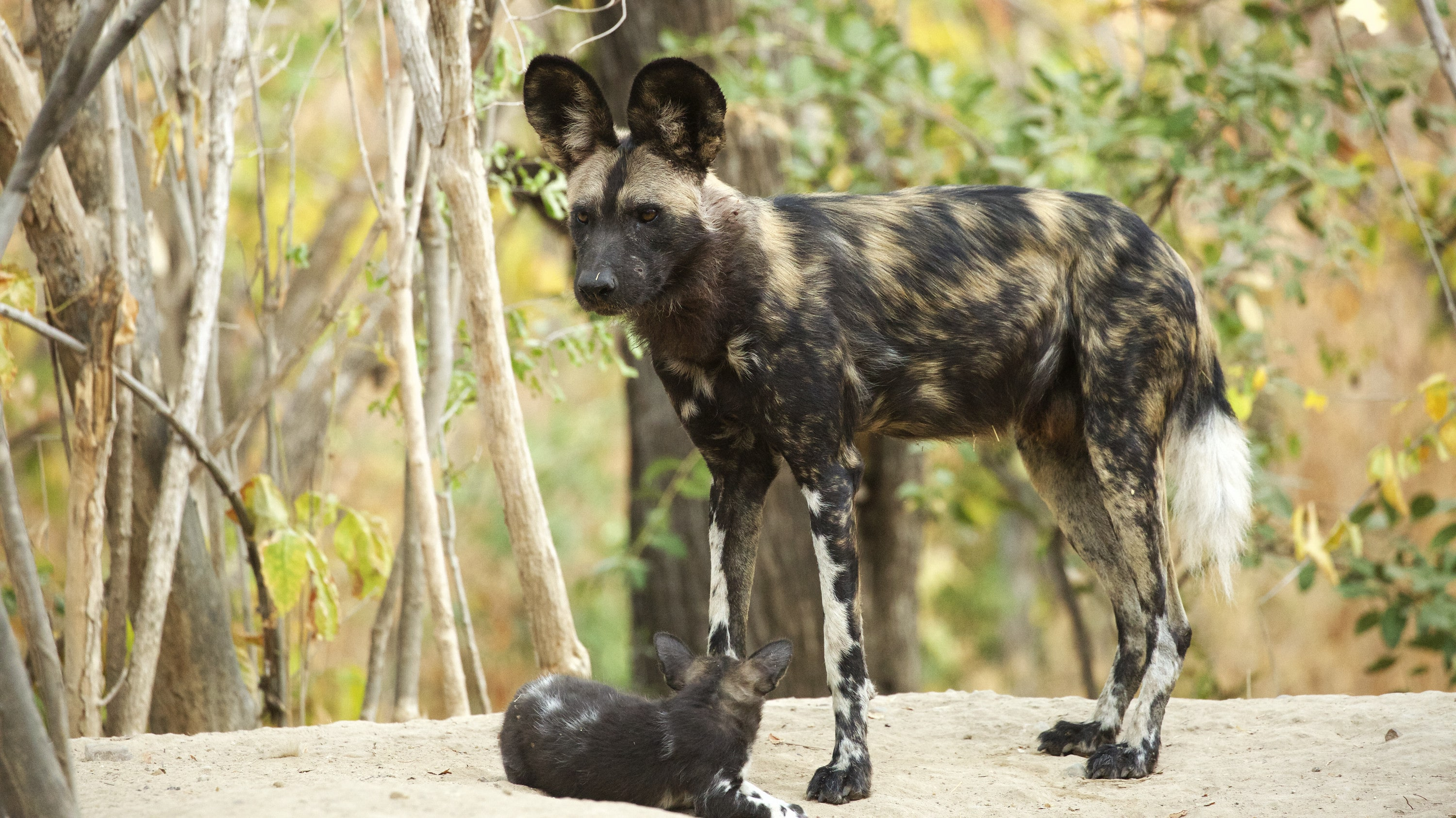 Lilah stands with a puppy at her feet. (National Geographic for Disney+/Kim Wolhuter)