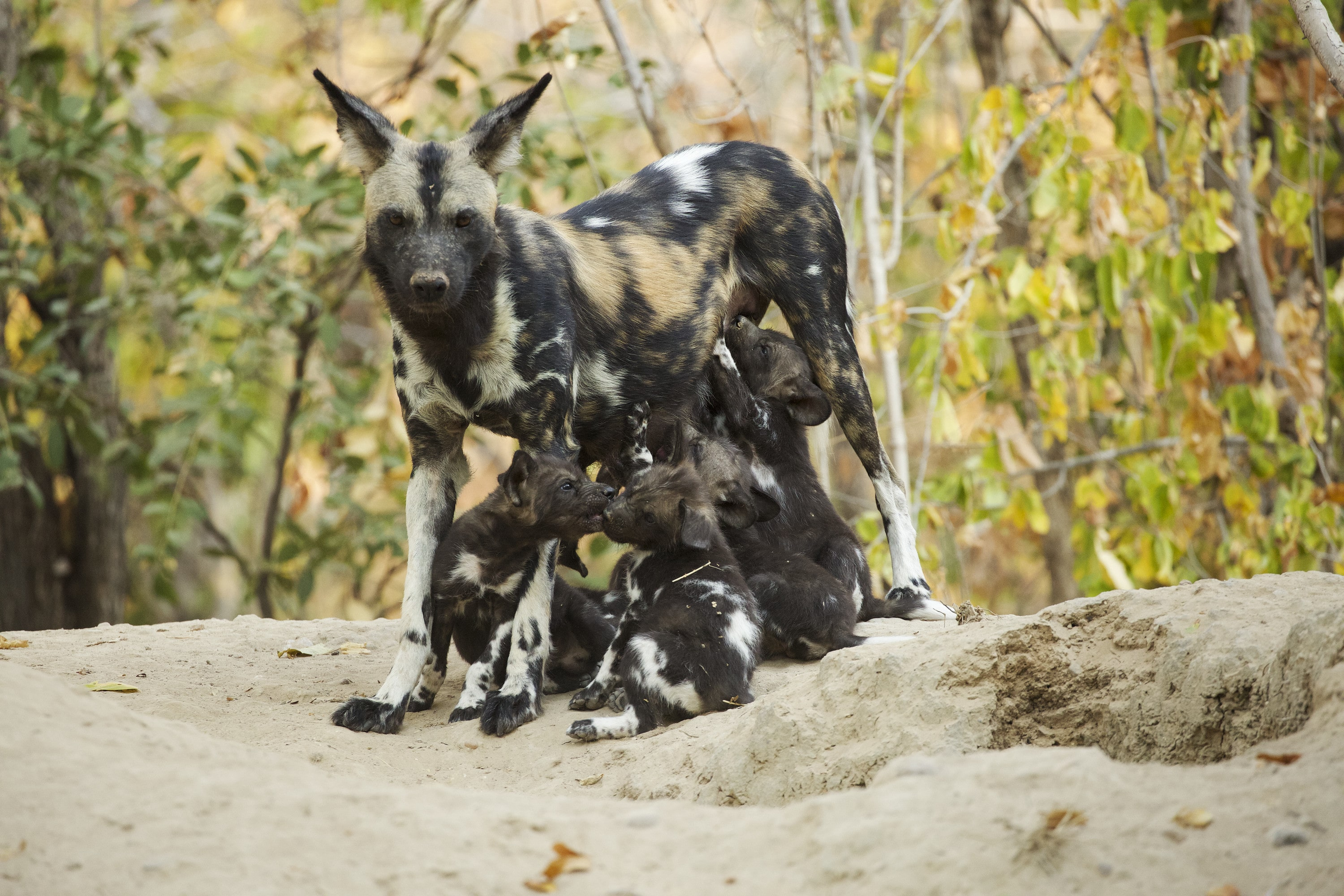 Coco stands with her ears pushed back as her puppies feed. (National Geographic for Disney+/Kim Wolhuter)