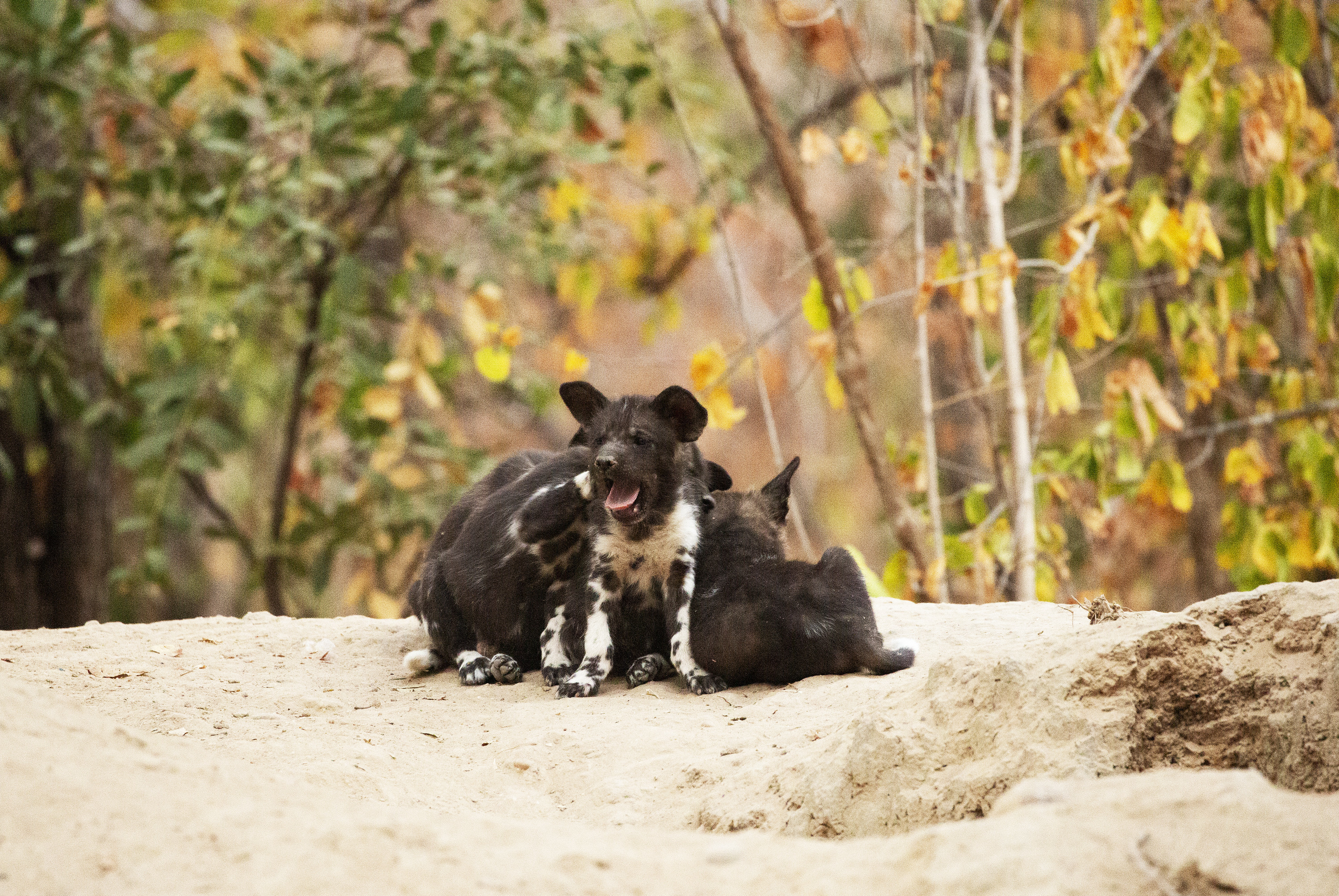 The puppies huddle together with Kip yawning in front. (National Geographic for Disney+/Kim Wolhuter)