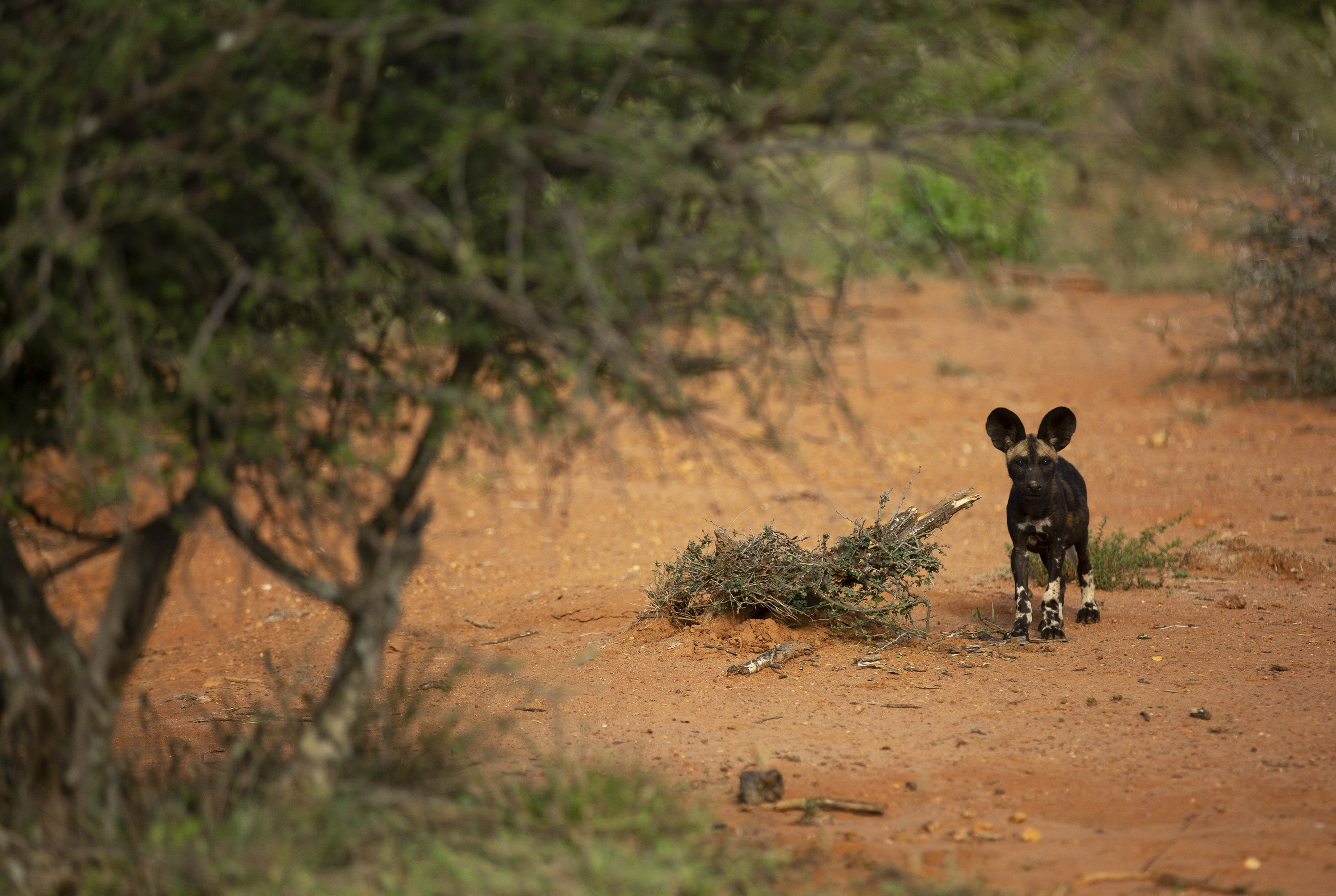 Kip stands with ears prickled. (National Geographic for Disney+/Melanie Gerry)