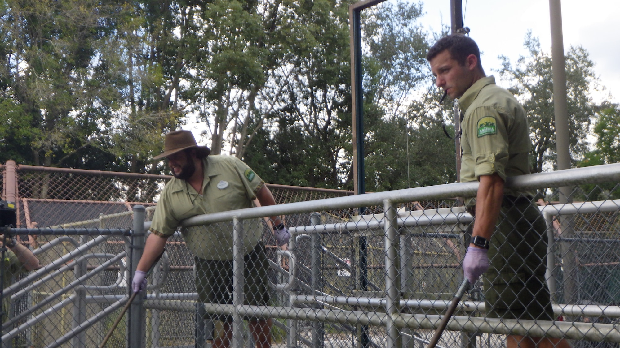 Training Jabba the Nilke crocodile to respond to a target.  (Disney)