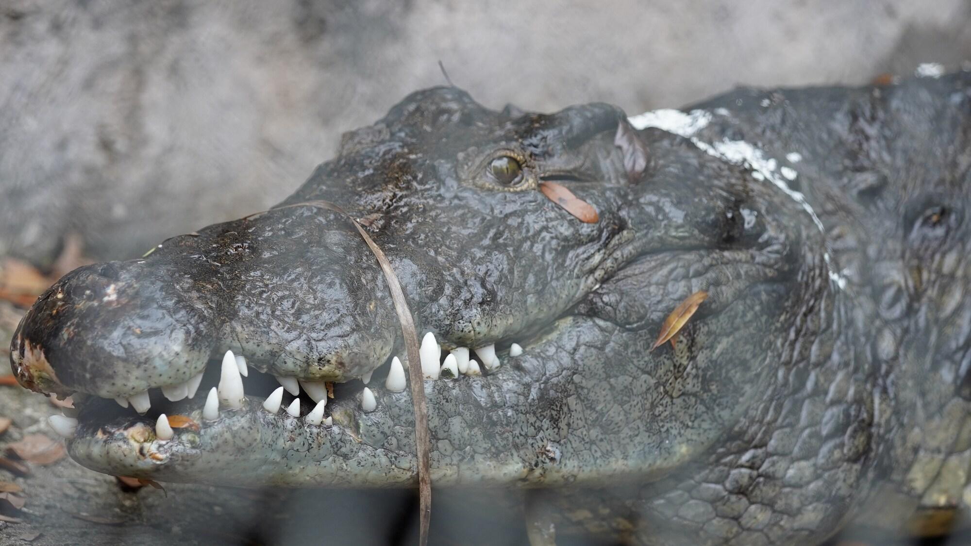 Mr. Campbell the Nile crocodile. (Disney)