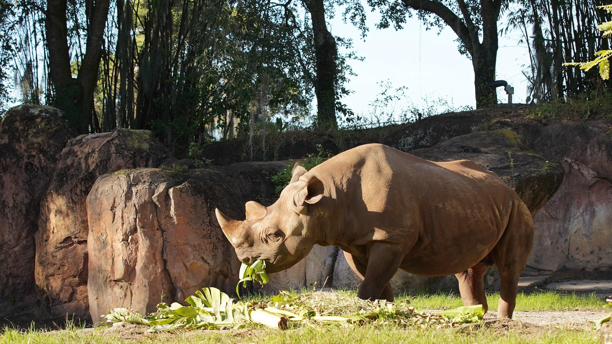 Badru the Black Rhino. (Disney)