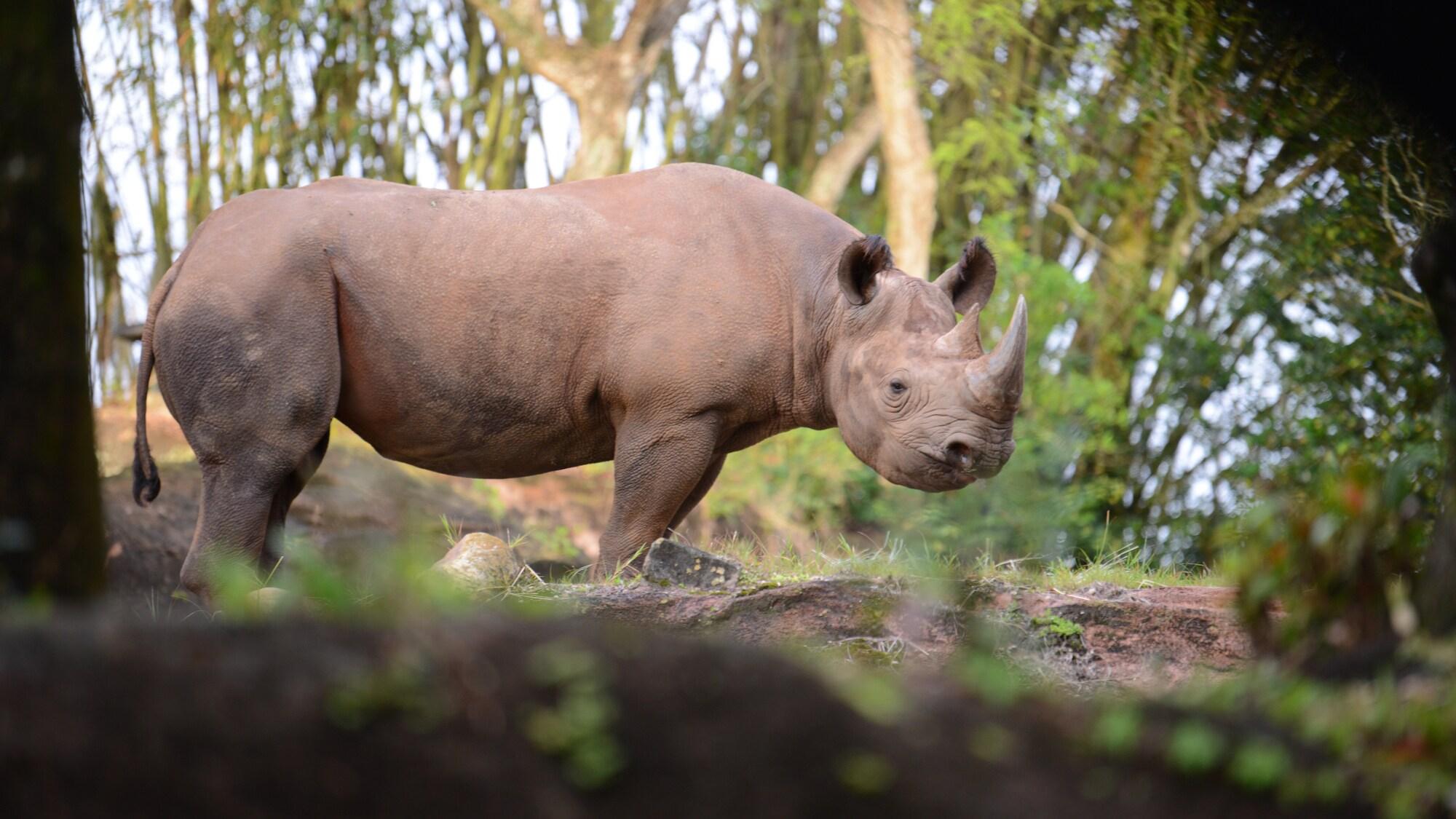 Black Rhino at Kilimanjaro Safari. (National Geographic/Gene Page)