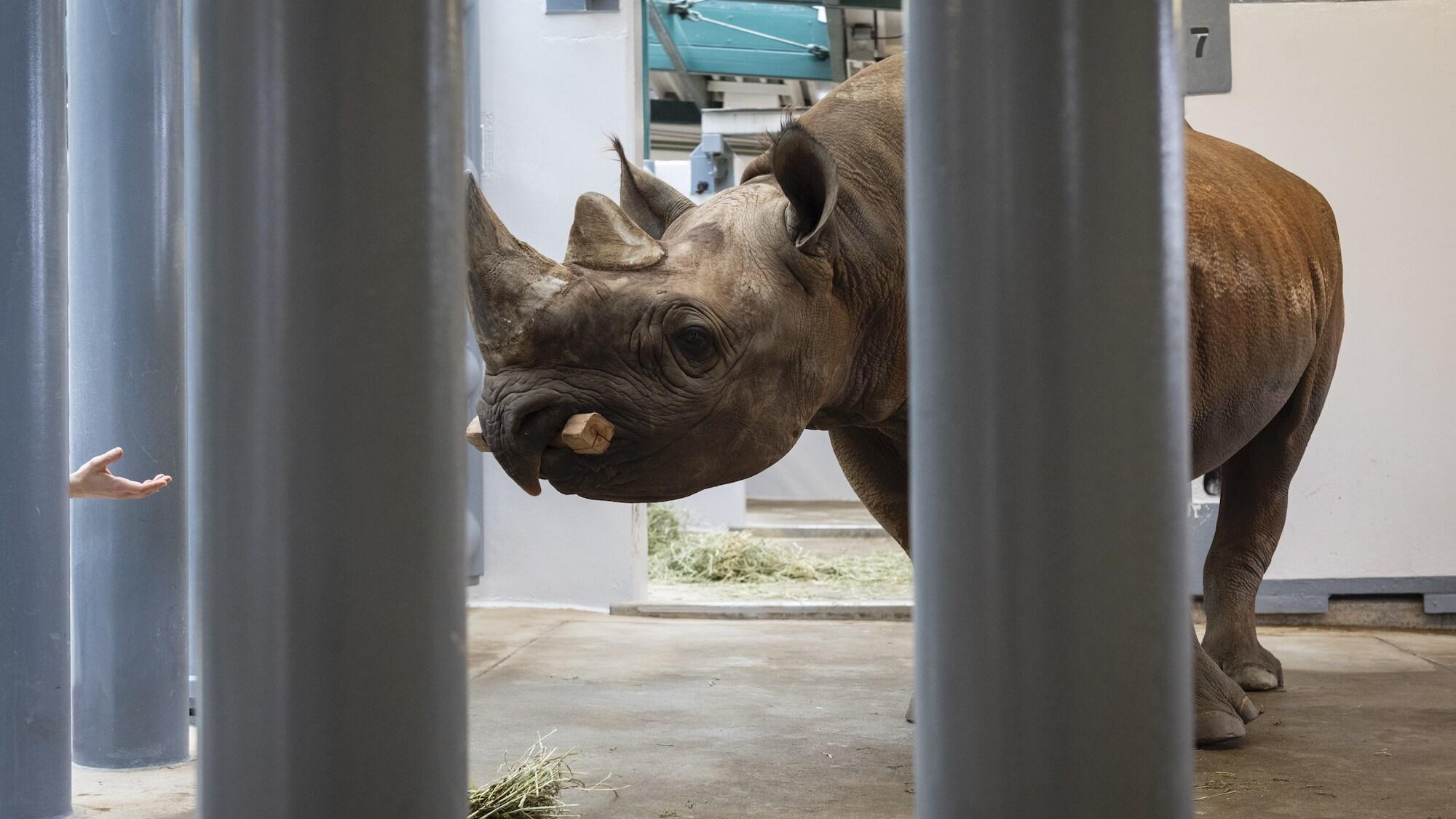 Badru the Black Rhino holds a fetching stick. (Charlene Guilliams/Disney)