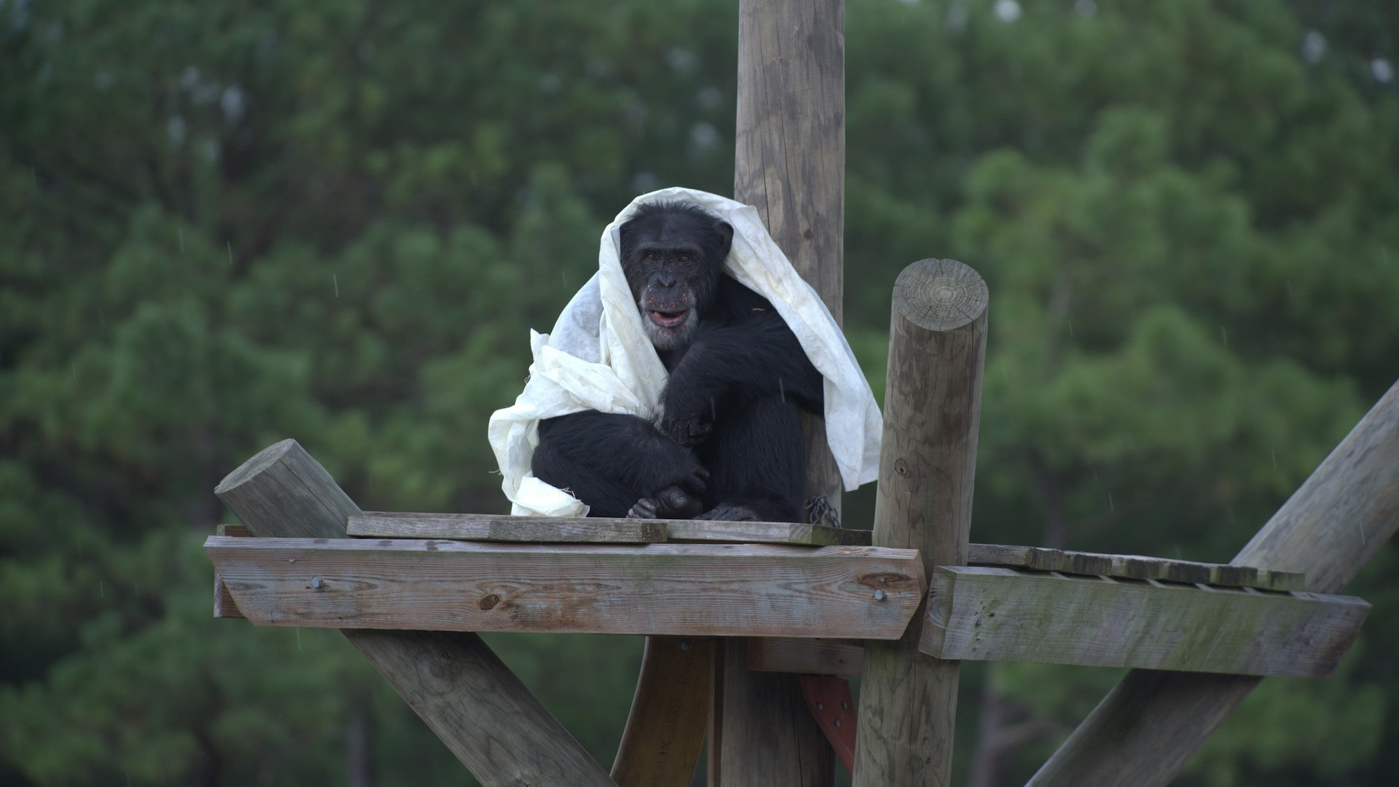Henry sits on a platform with a blanket over himself. Donovan's group. (Chimp Haven/Karalee Scouten)