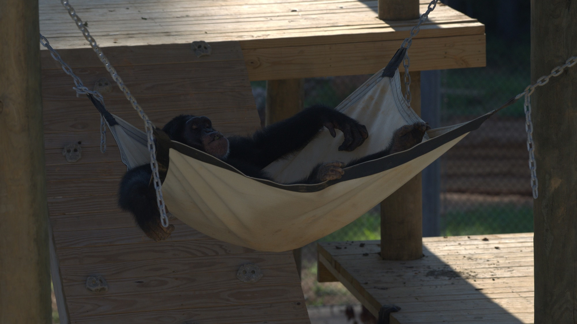 Riley relaxing in hammock. Slim's group. (Chimp Haven/Karalee Scouten)