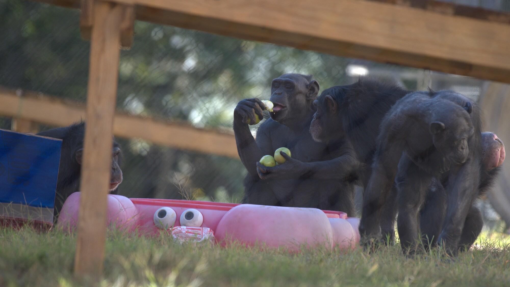 Alpha female Slim, eating apples. Slim's group. (Chimp Haven/Karalee Scouten)