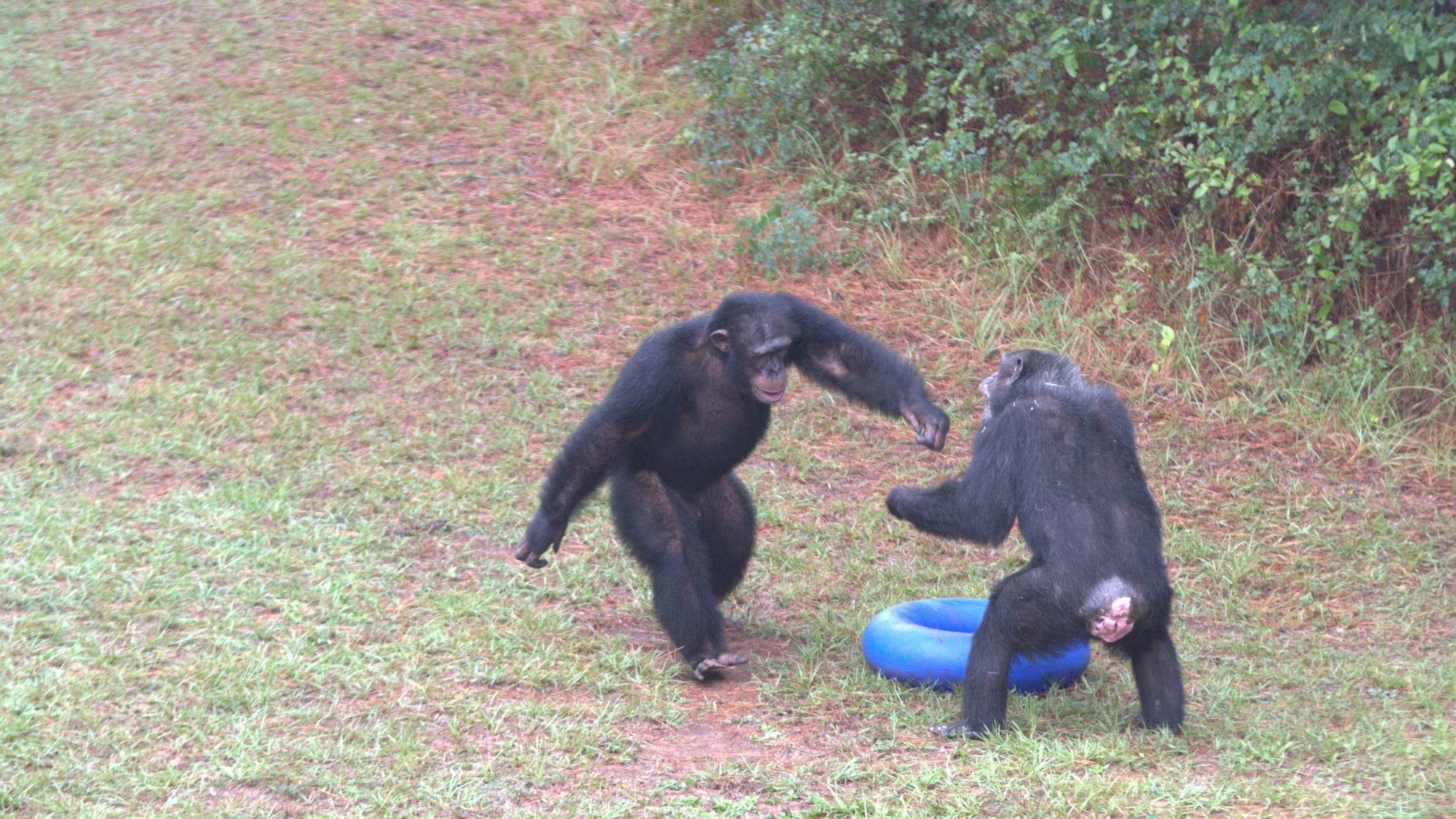 Jimmy Dean standing bi-pedally making his way towards another chimp, asserting his dominance. Sara Soda's group. (Nicholas Chapoy)