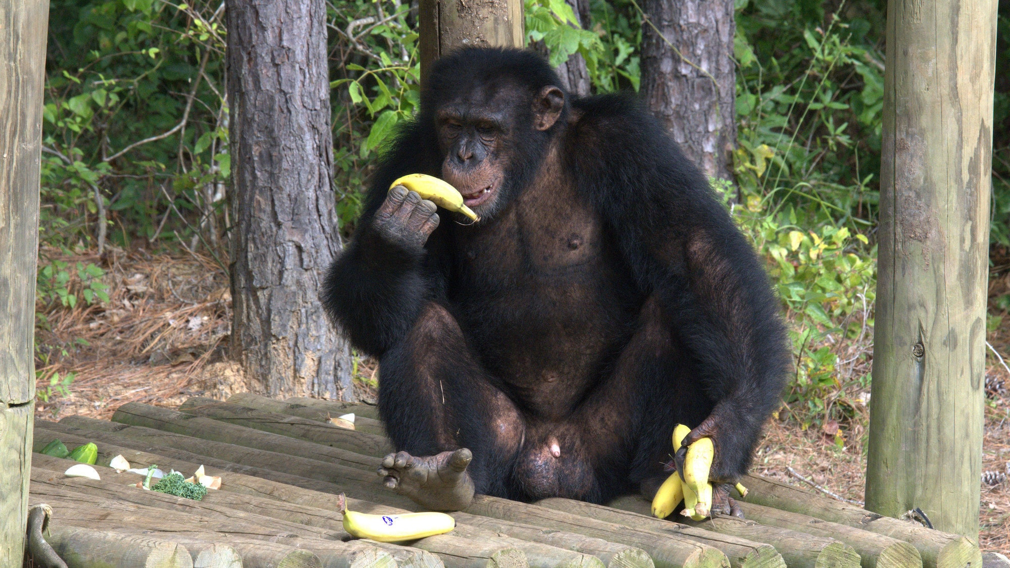 Jimmy Dean sat on a wooden platform eating a banana. Sara Soda's group. (National Geographic/Virginia Quinn)